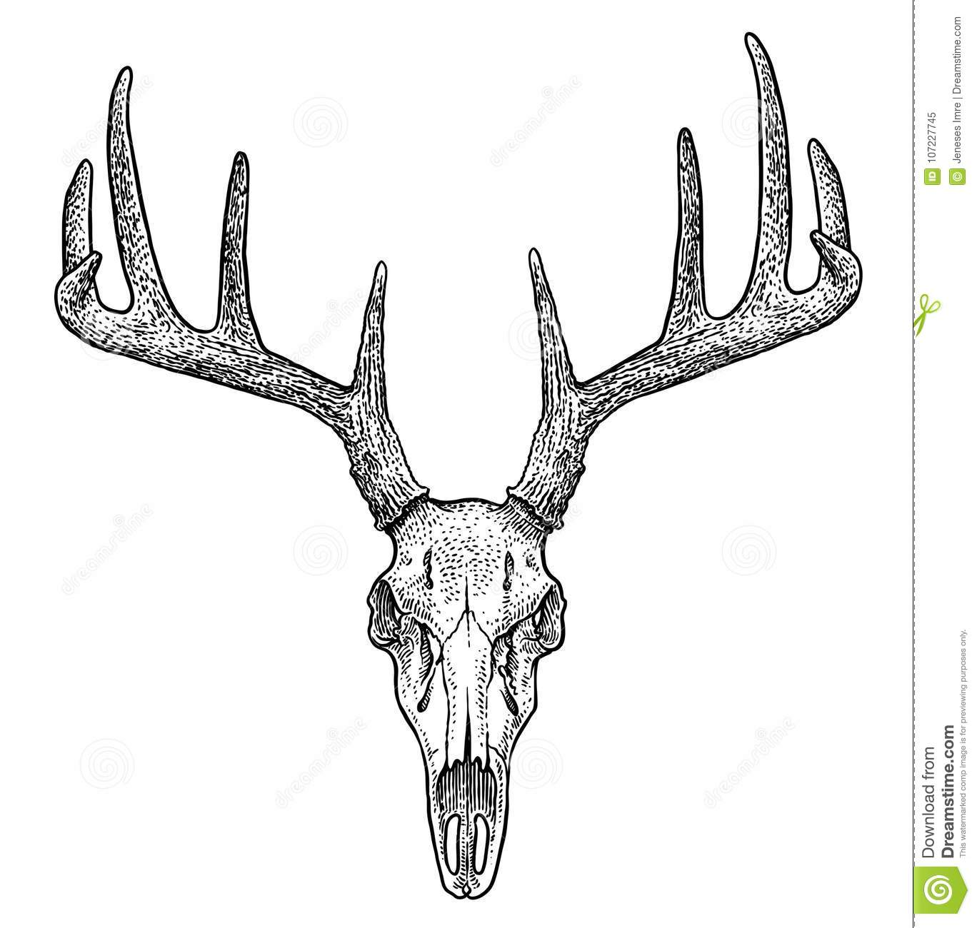 Line Drawings Of Animals Deer : Deer skull illustration drawing engraving ink line art