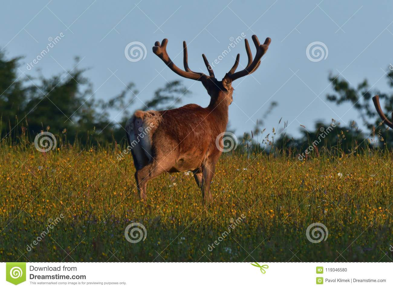 Deer stag with antler walking on the meadow