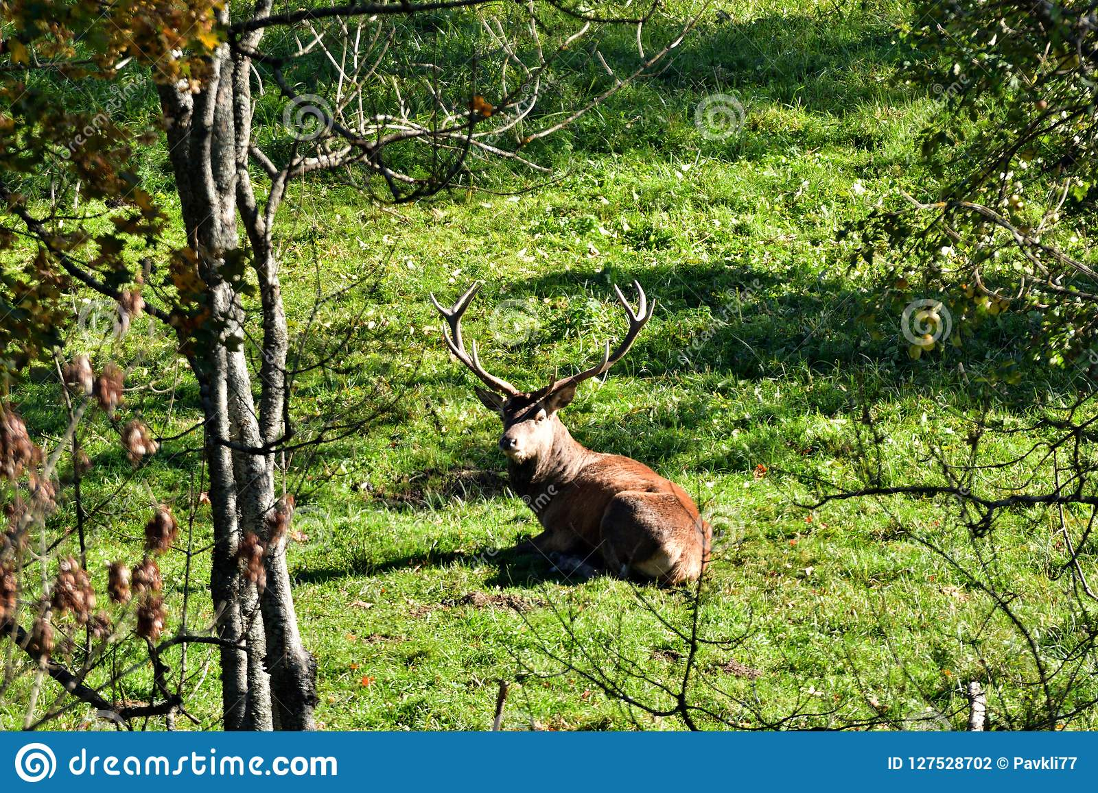 Deer stag to lie and resting down in the forest