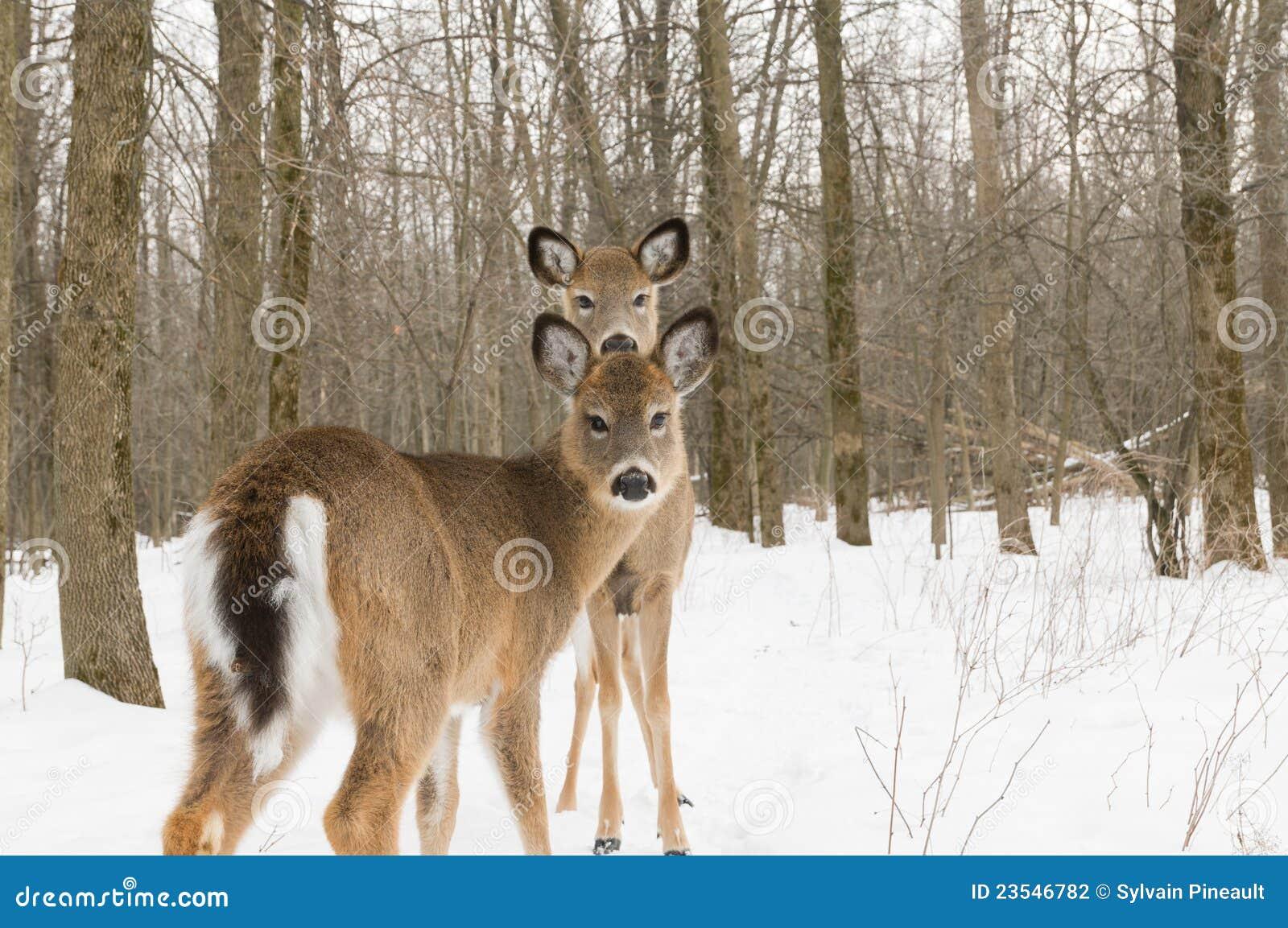 Deers δύο