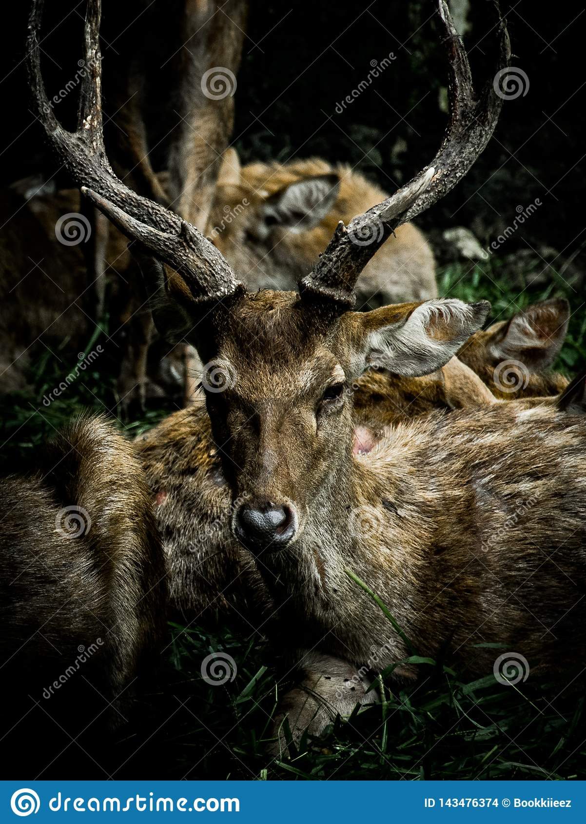 Deers with beautiful horns with dark tone.