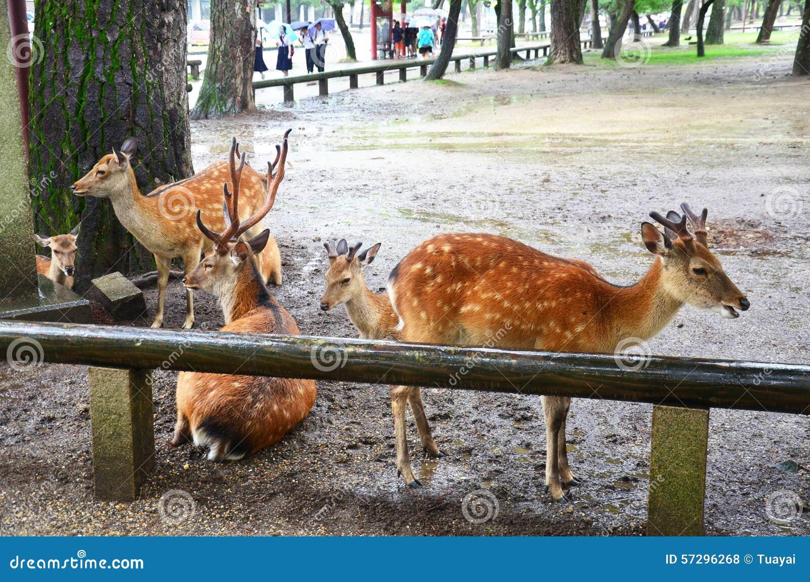 Deers At Kofukuji Temple In Nara, Japan Stock Photo ...