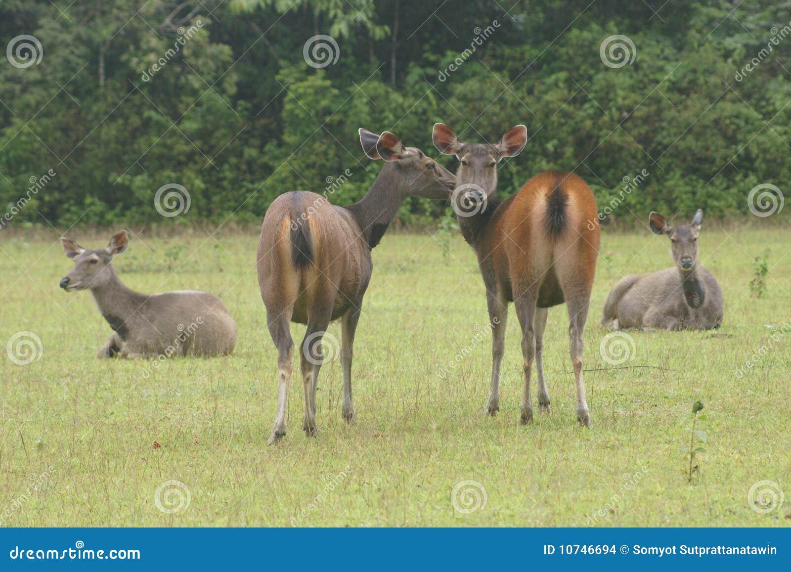 Deers in nature