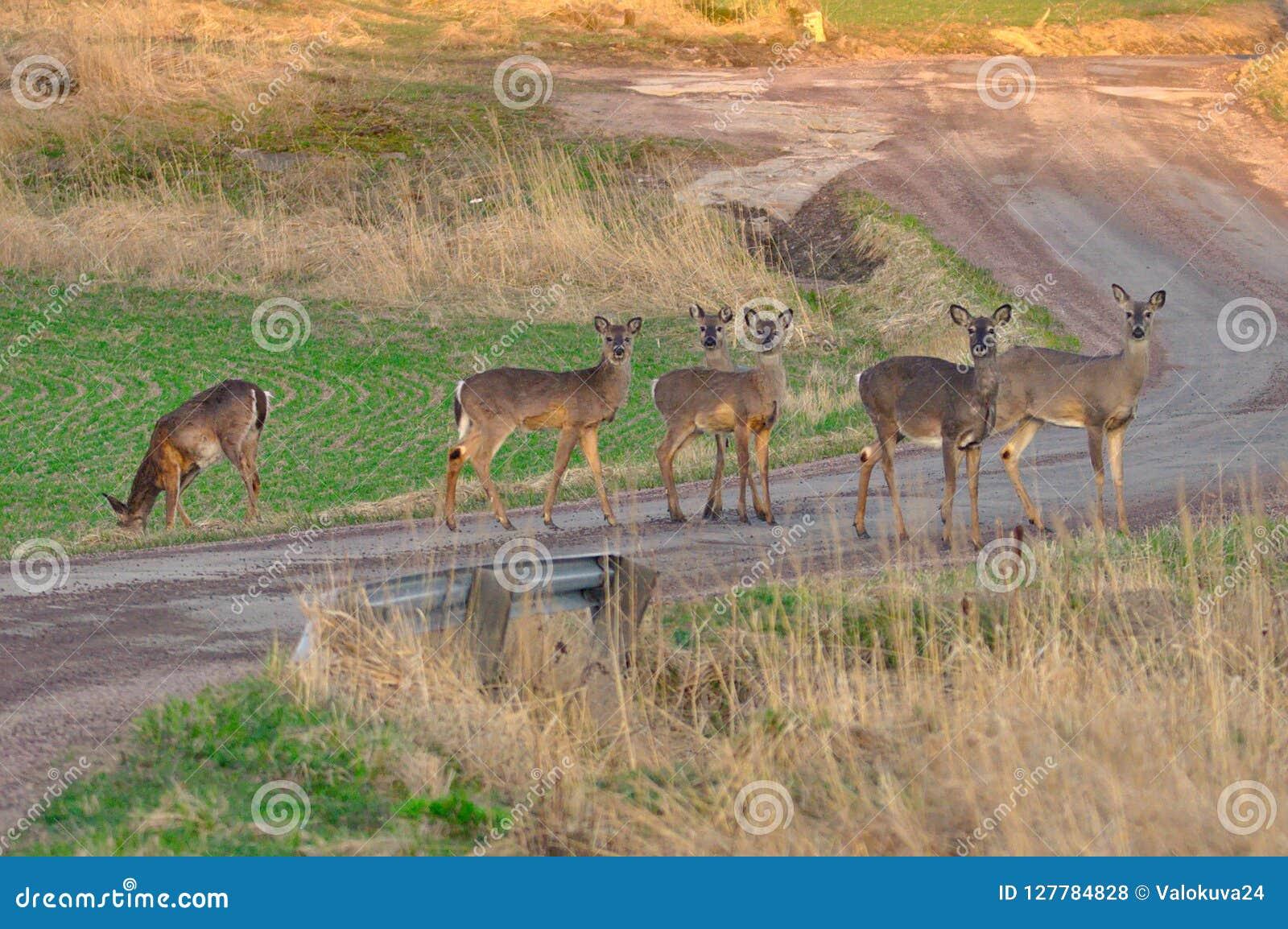 Deers on the road