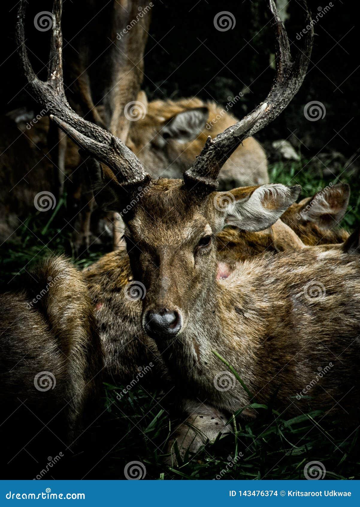 Deers z pięknymi rogami z ciemnym brzmieniem