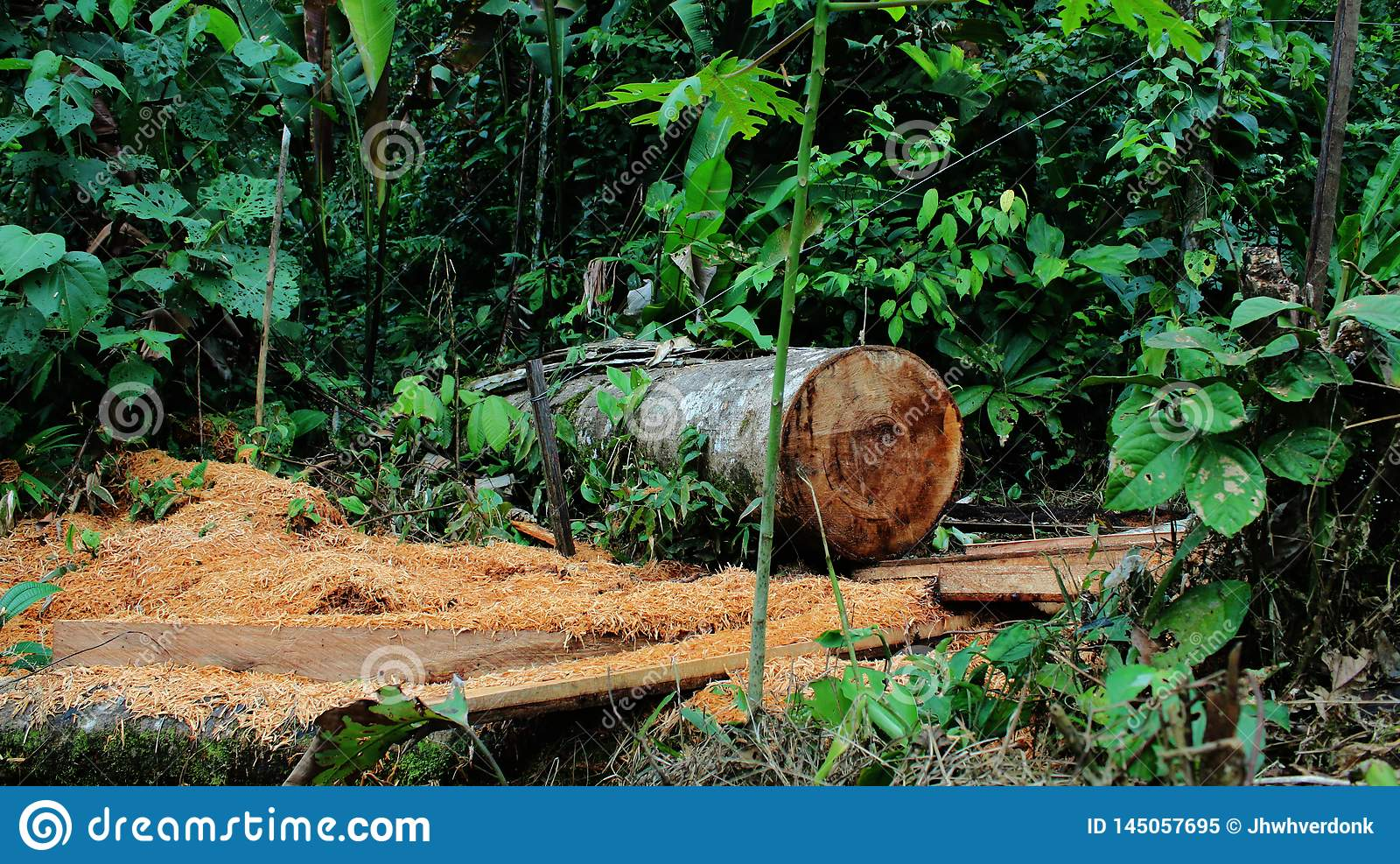 Deforestation: Lots Of Sawdust And A Large Tree Cut Down