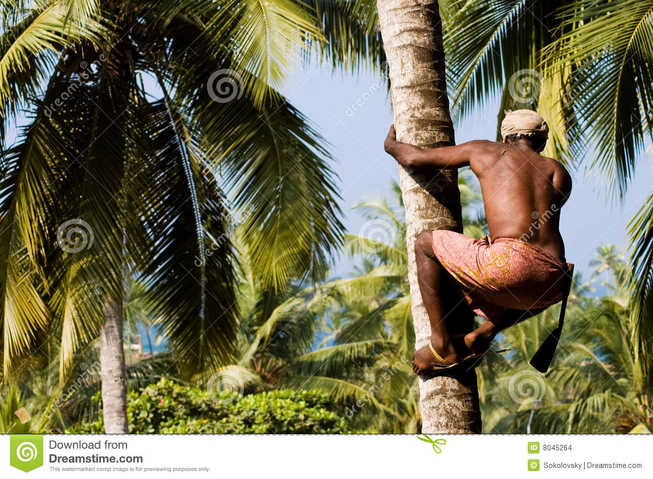 Deft Indian Man Picking Coconut Stock Photo Image Of