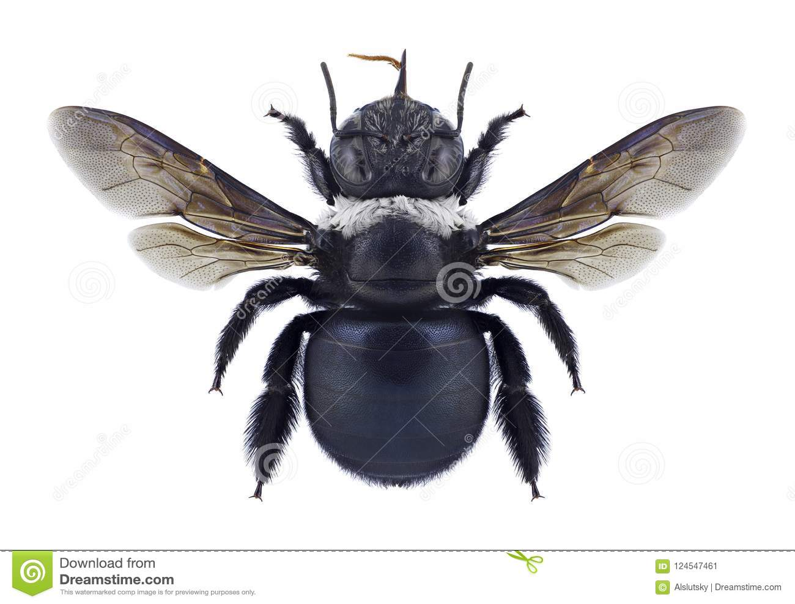 Dejeanii del Xylocopa de la abeja