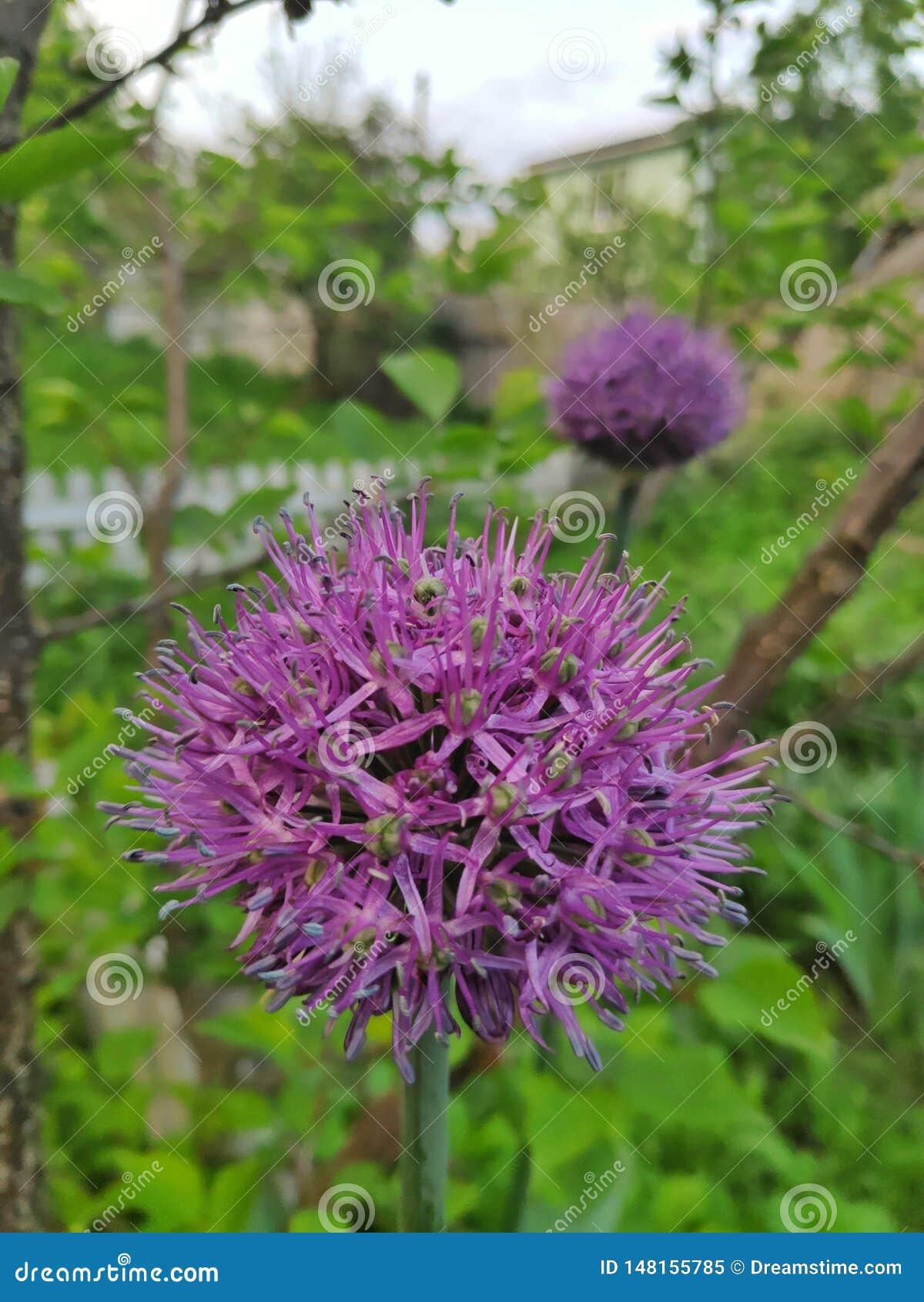 Dekoracyjni cebula kwiaty