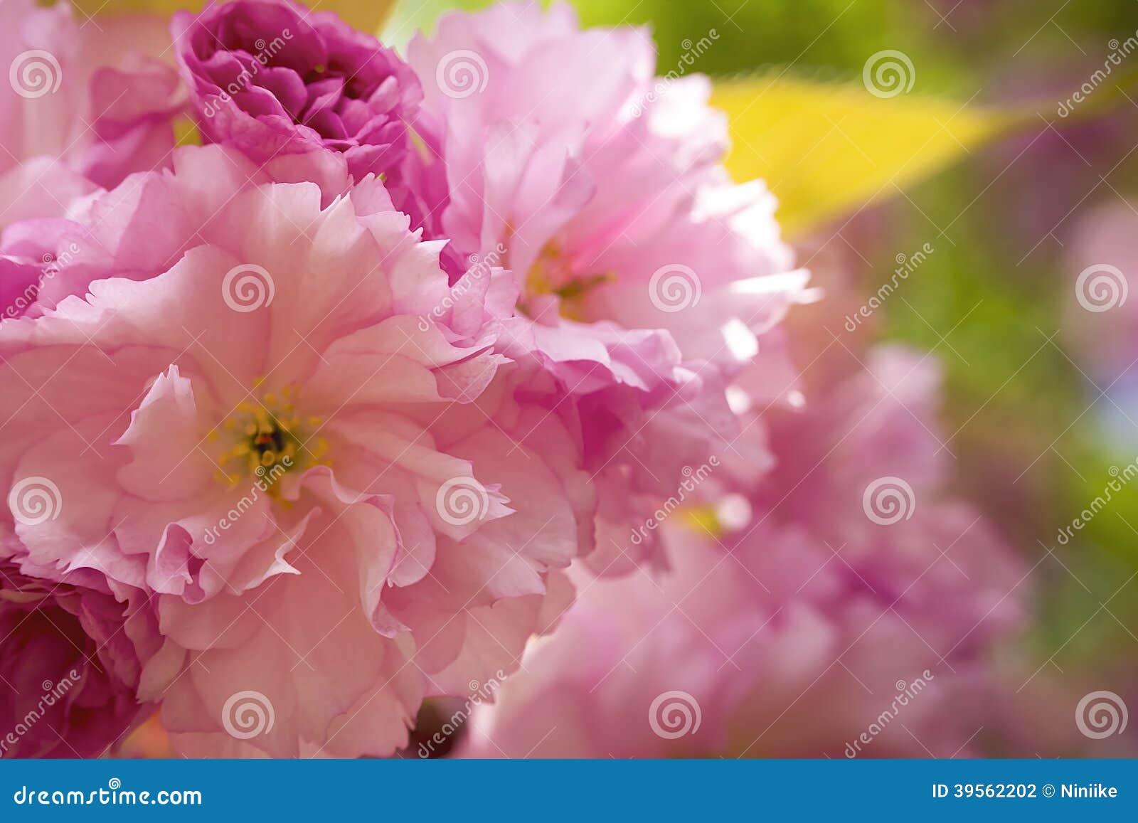 Dekorativ blomning för körsbärsrött träd