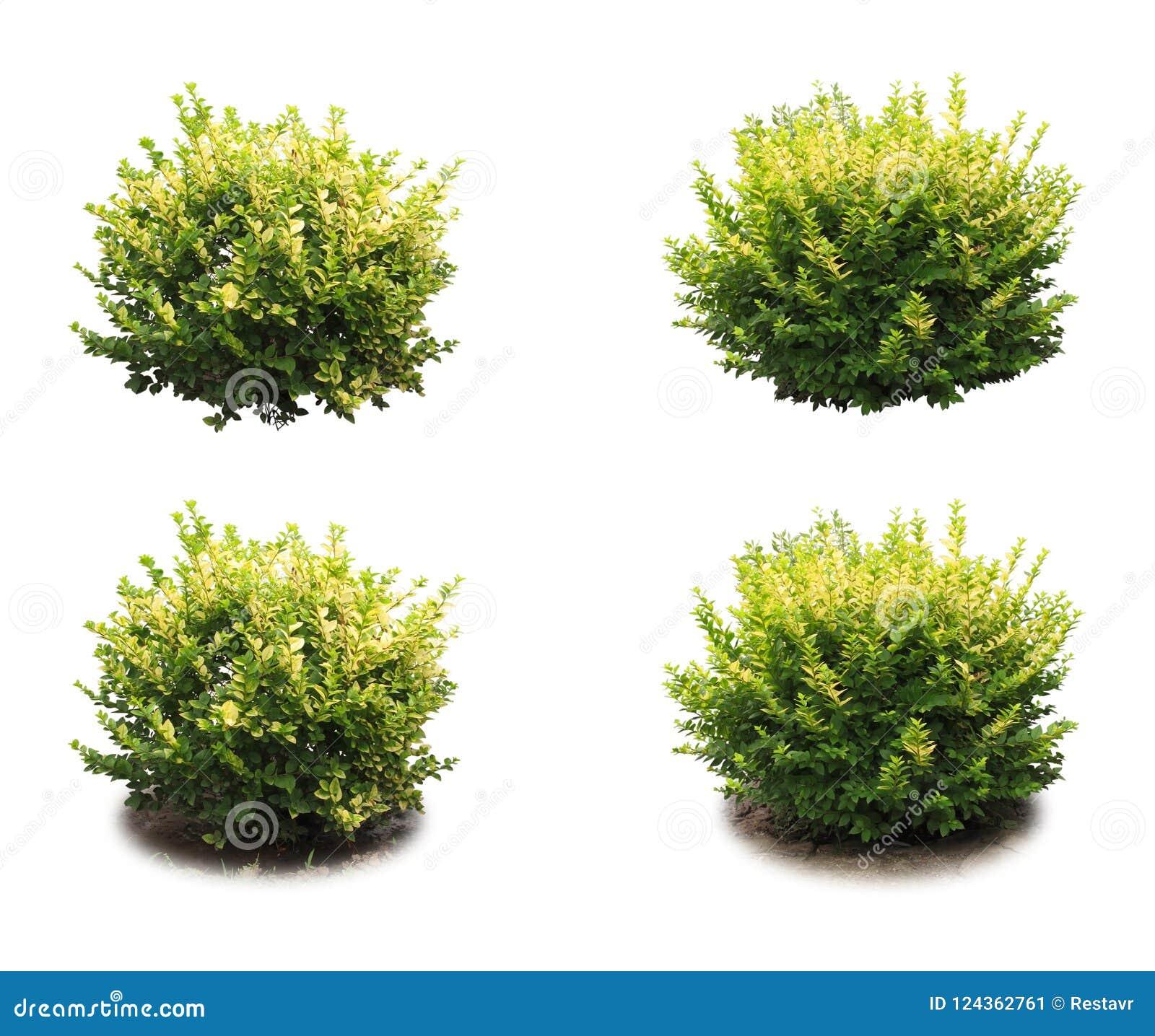 Dekorativ buske