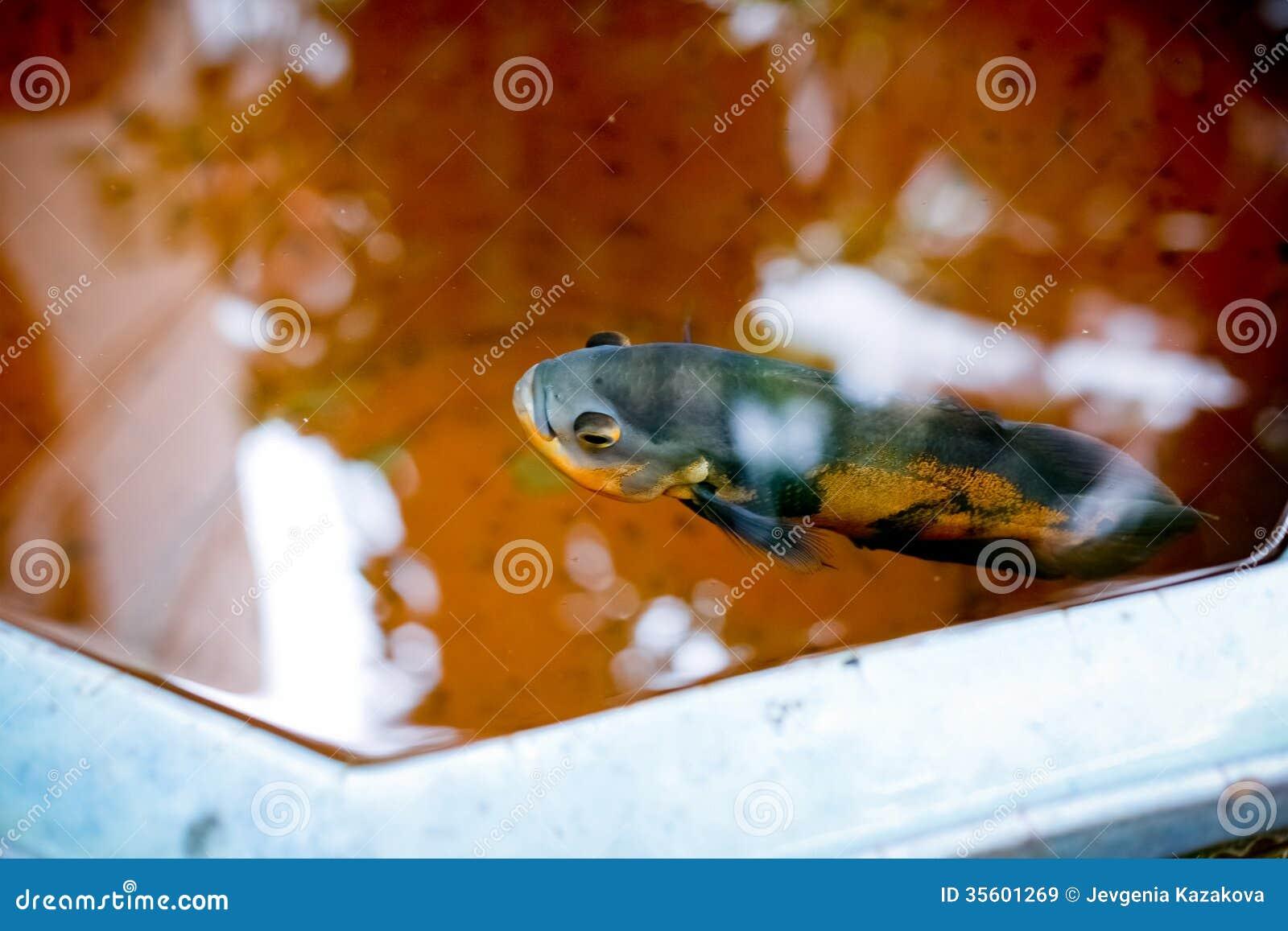 Dekorativ fisk