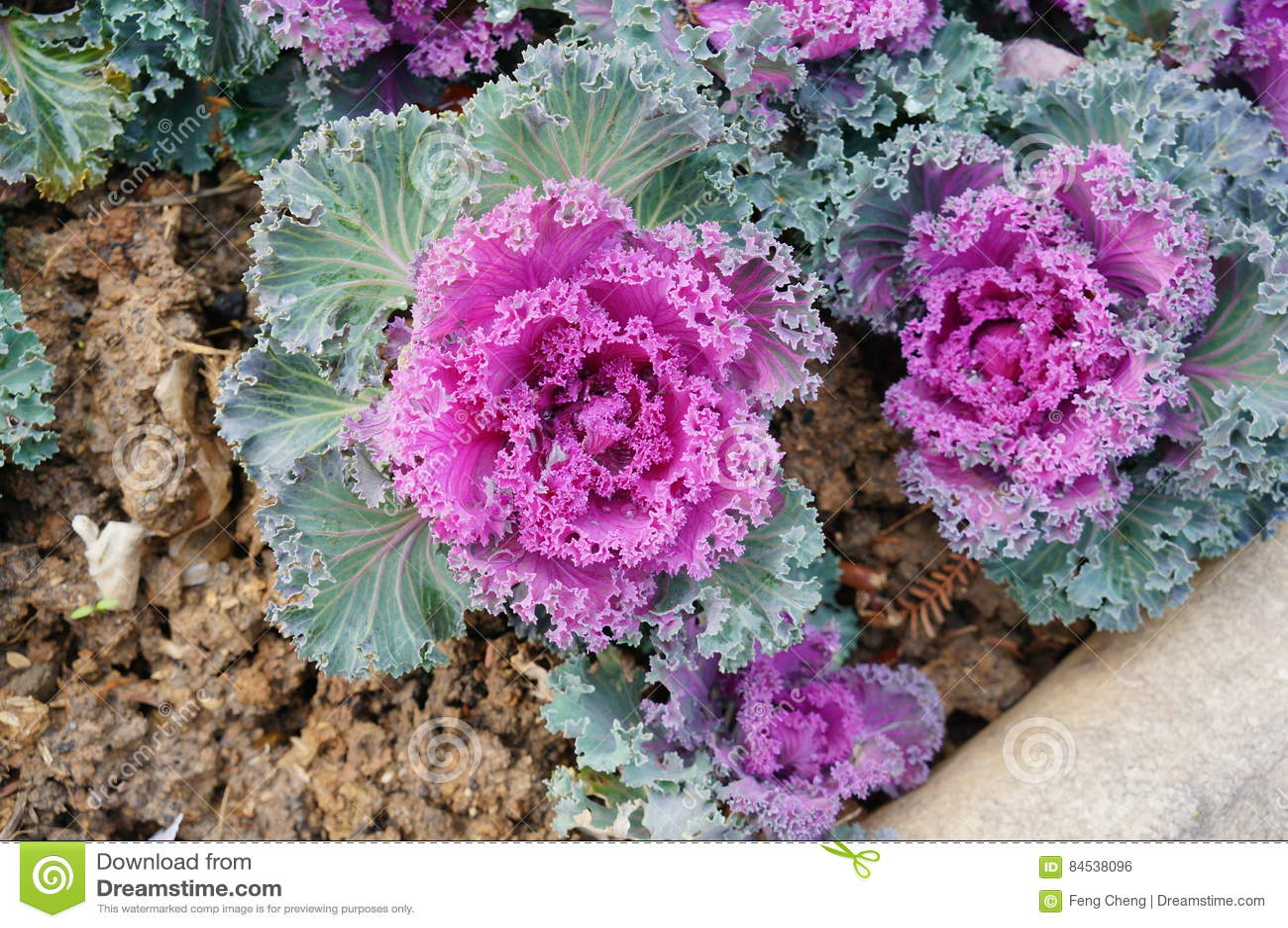 Dekorativ purple för kål