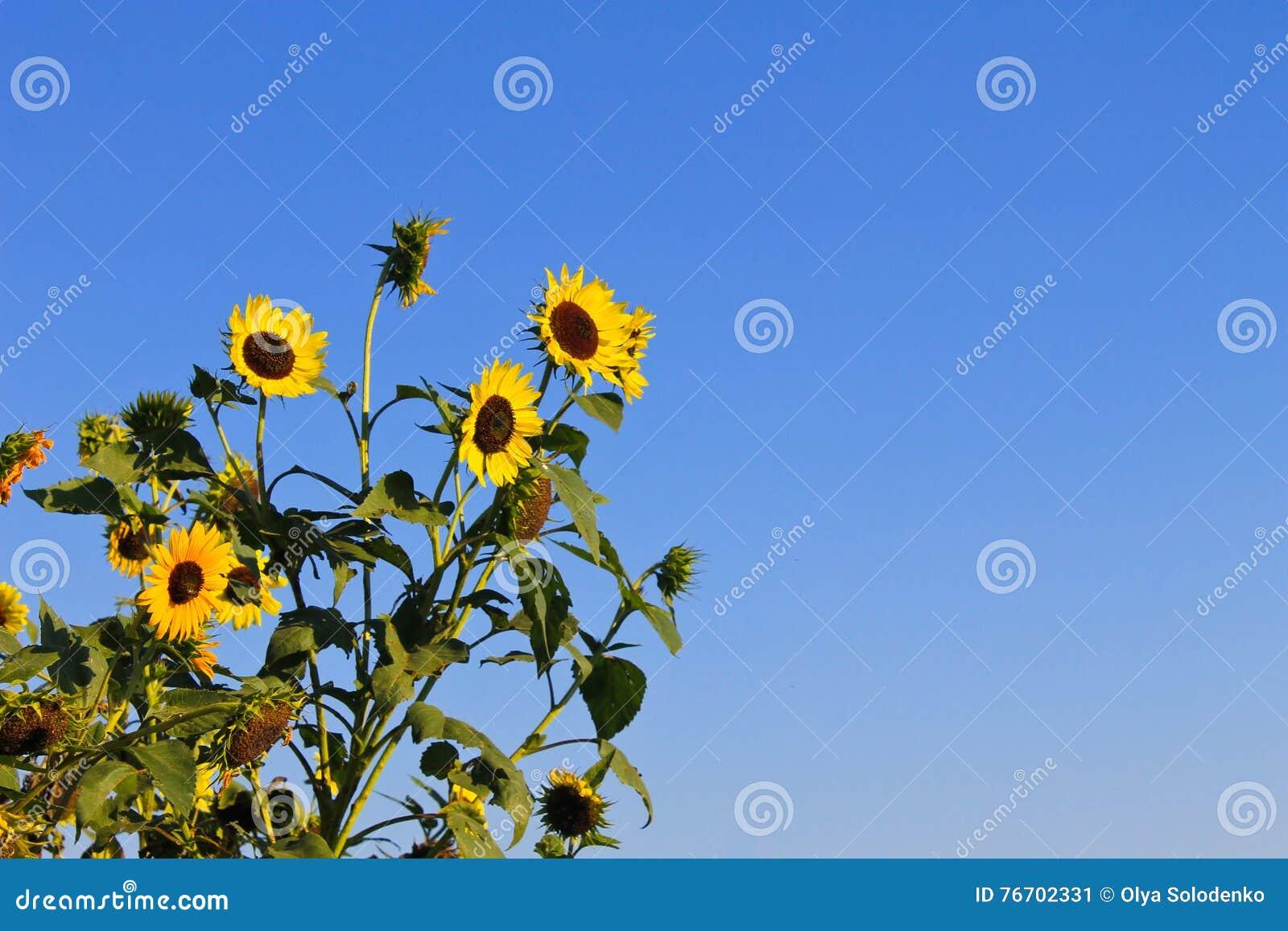 Dekorativa solrosor på bakgrund för blå himmel
