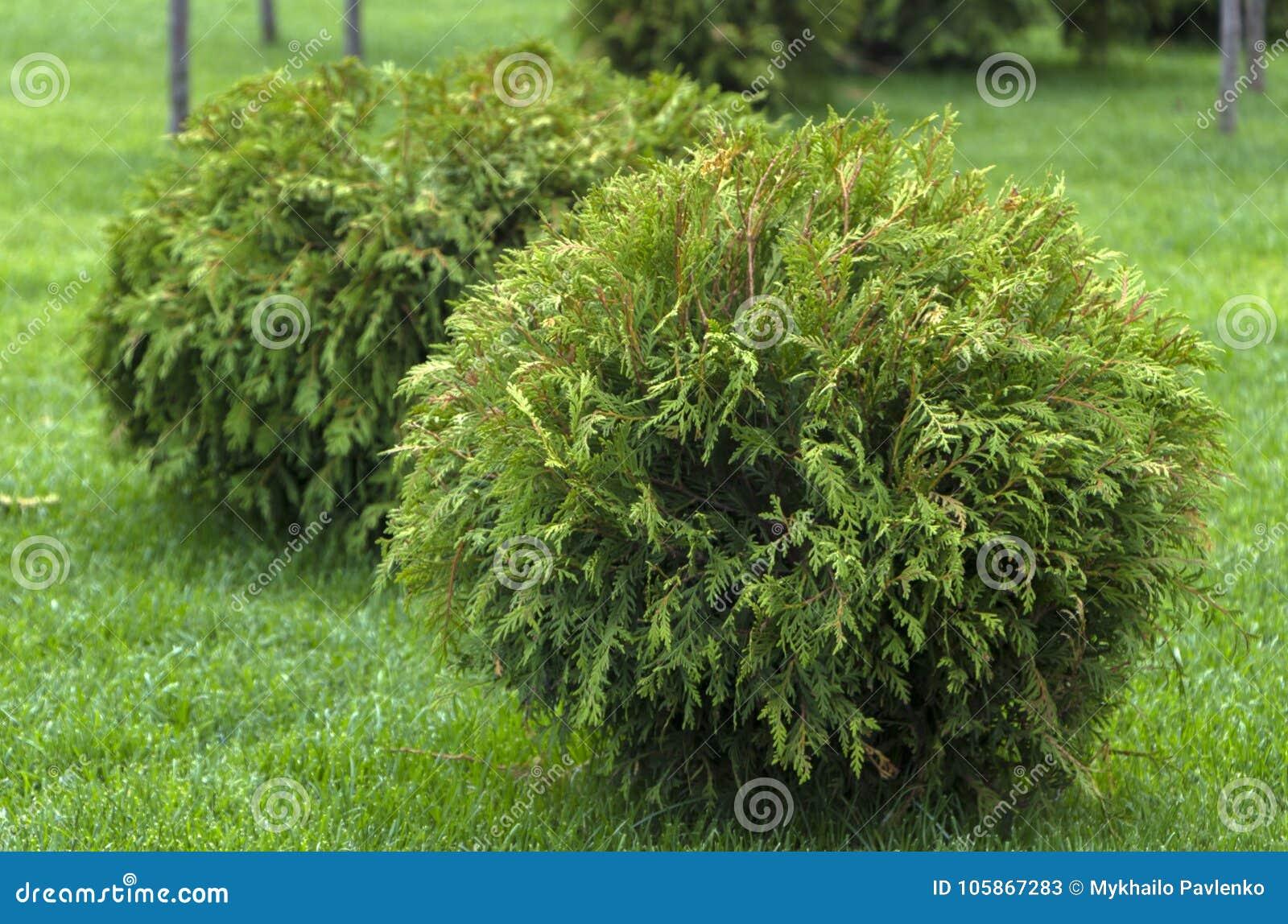 Dekorativer Garten runder Form Thuja occidentalis Danica