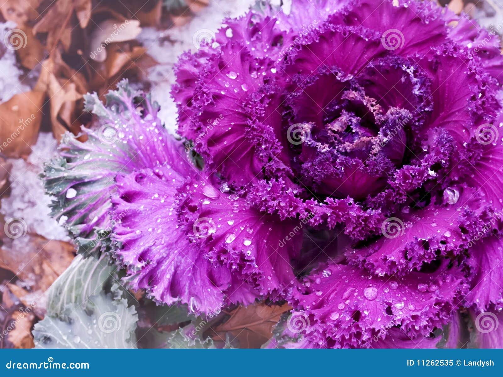 Dekorativer purpurroter Kohl