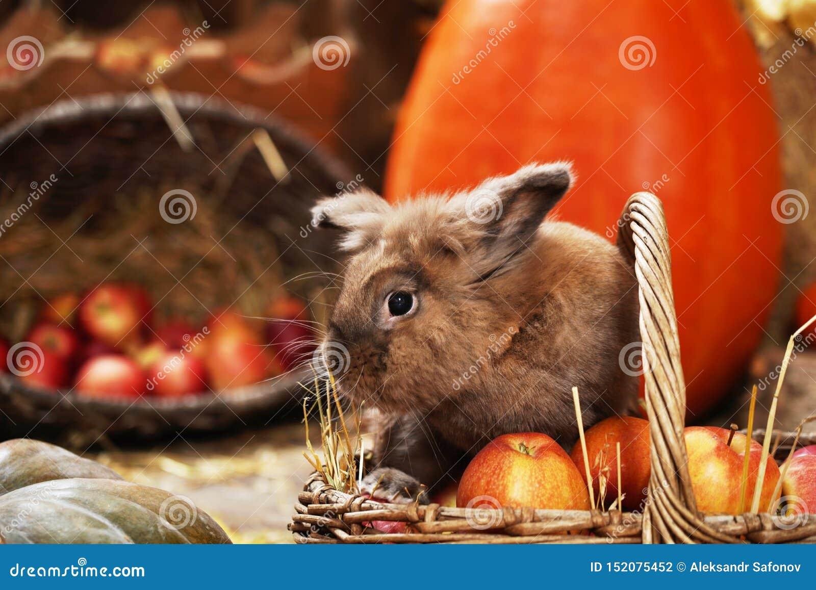 Dekoratives Kaninchen im Herbststandort, sitzend unter den Kürbisen des Heus und der Äpfel