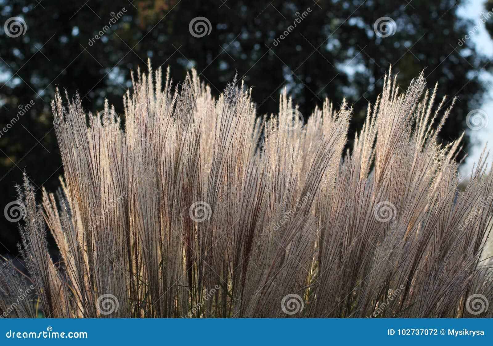 Dekorativt gräs
