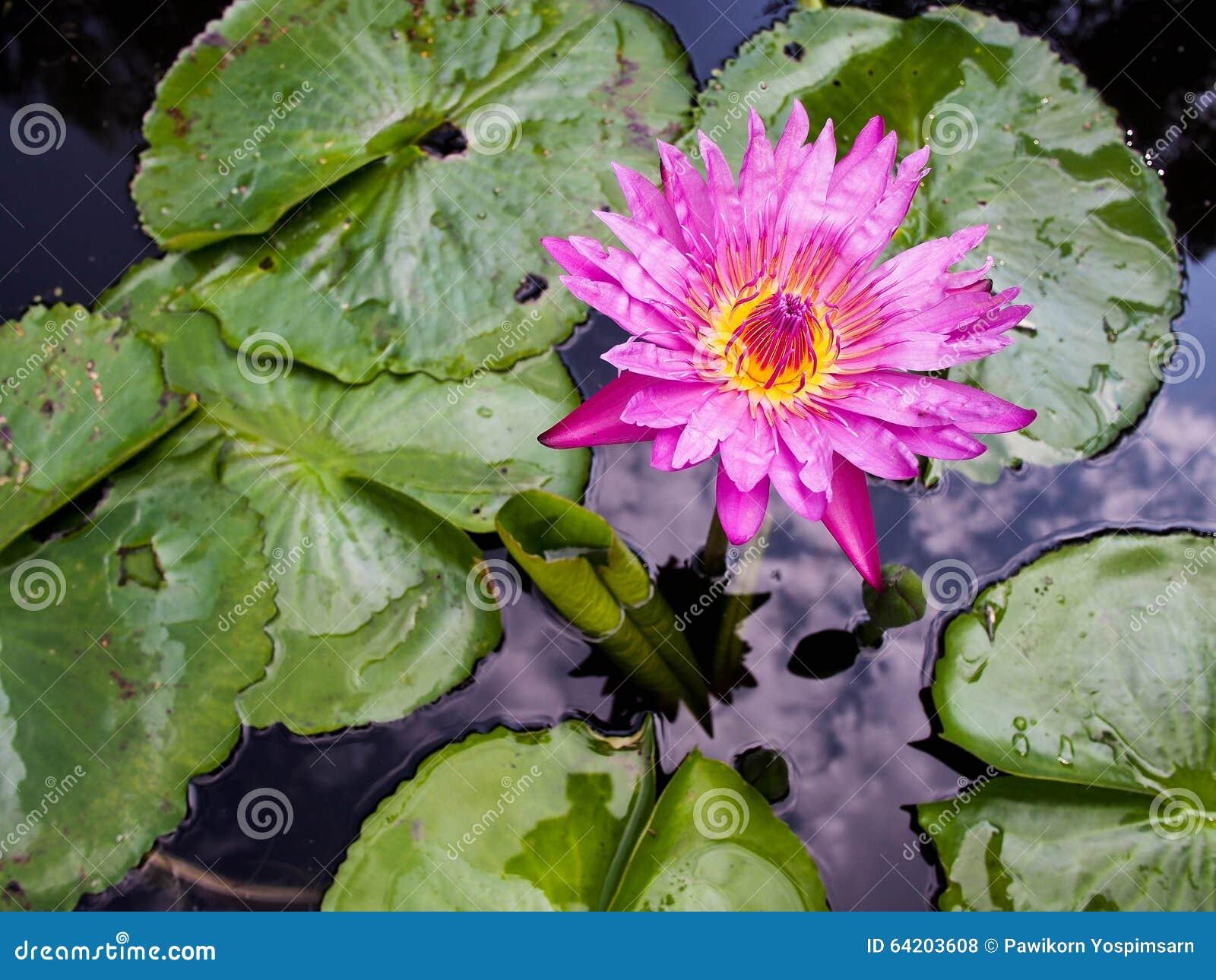 Del color de rosa flor waterlily