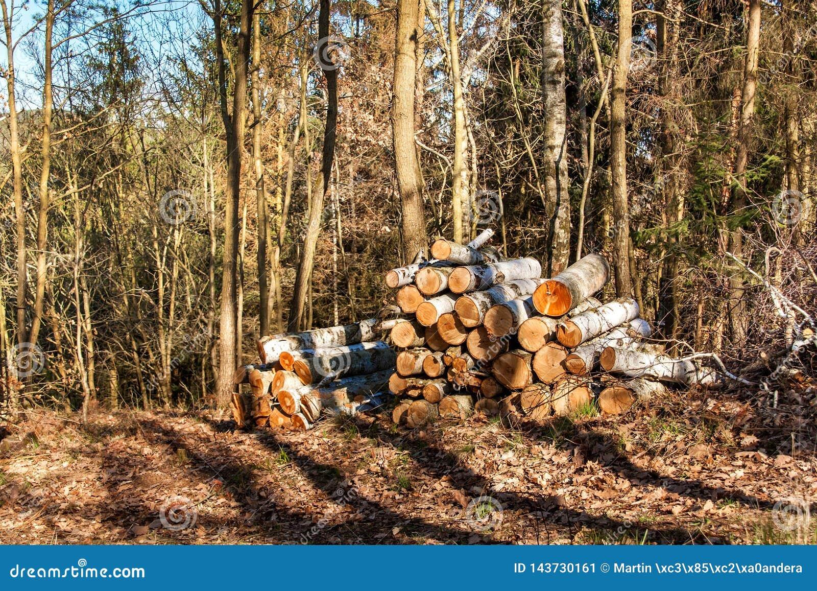 Del corte abedul en una pila en el trabajo del bosque en árboles de la tala del bosque Leña Tarde de la primavera en el bosque