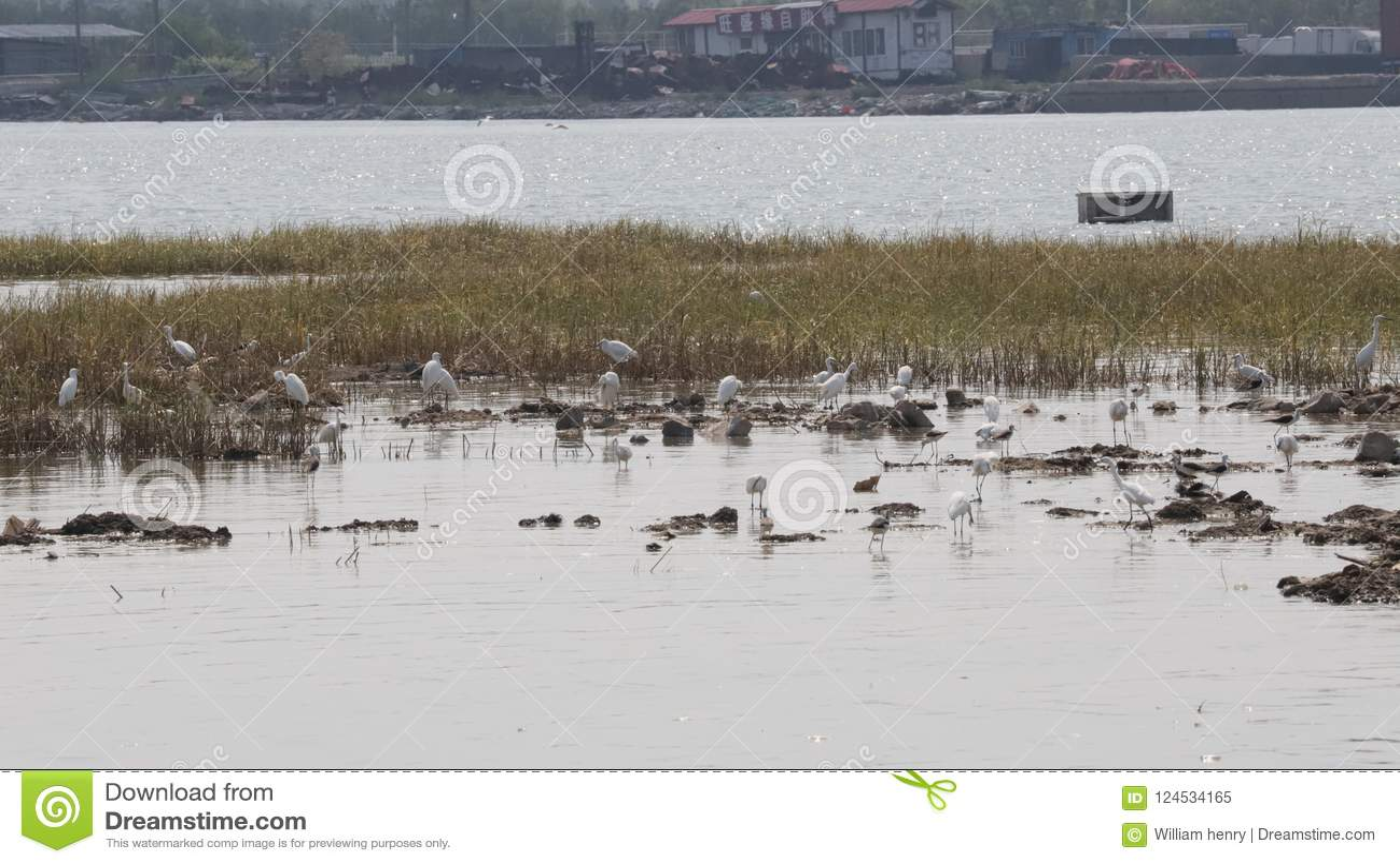 Del cuello nido negro del zanco y de las garcetas en el pueblo pesquero China del norte de Bai Tong