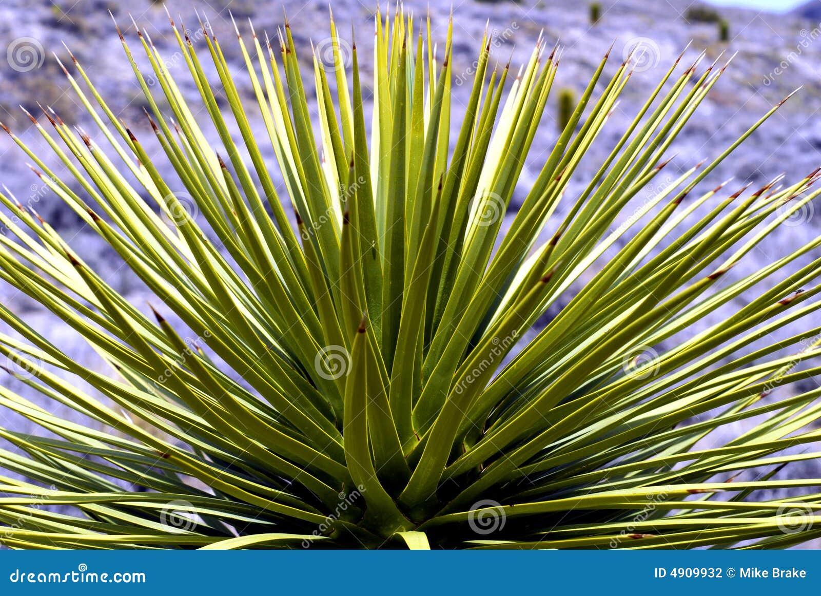 Del desierto de la yuca de la planta cierre para arriba for Yuca planta de exterior