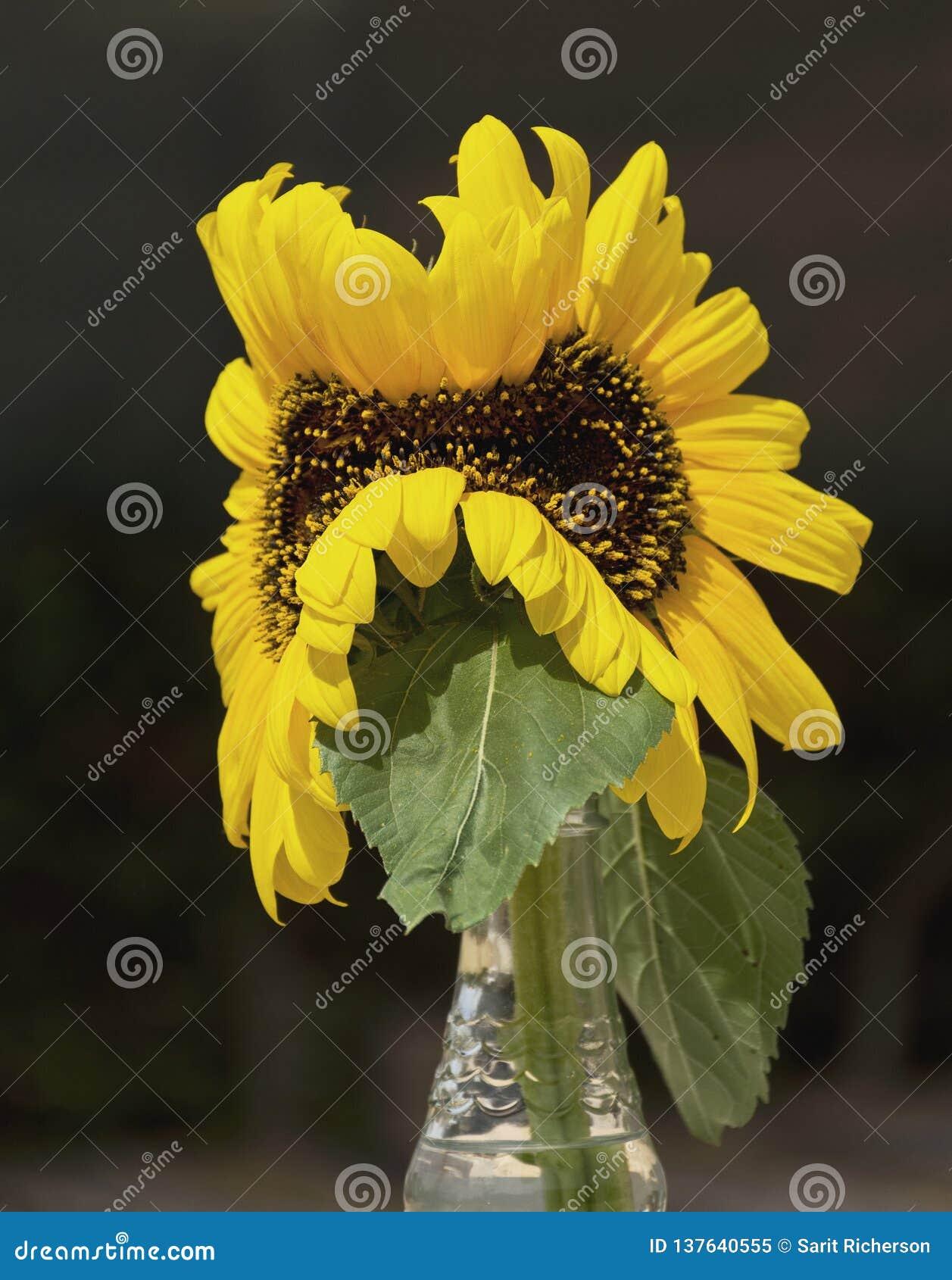Del mutante todavía del girasol vida amarilla doble