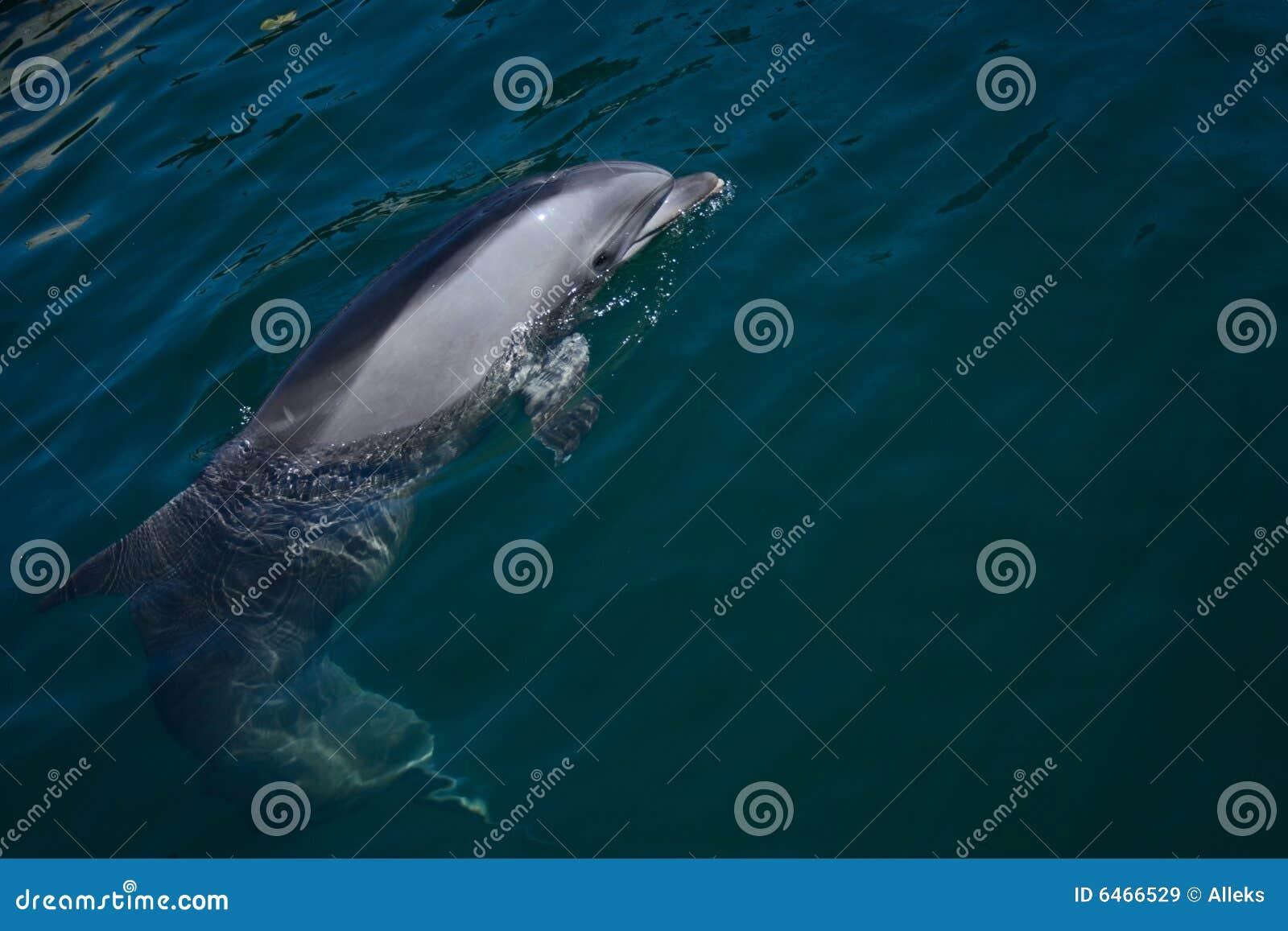 Delfín de Bottlenose que mira hacia fuera el agua