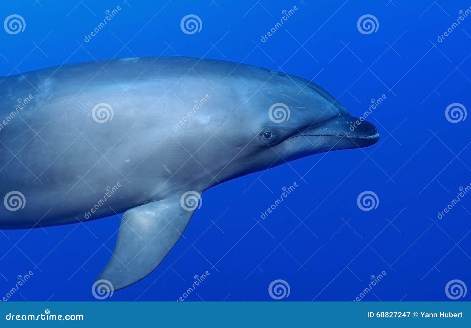 Delfín de la nariz de la botella