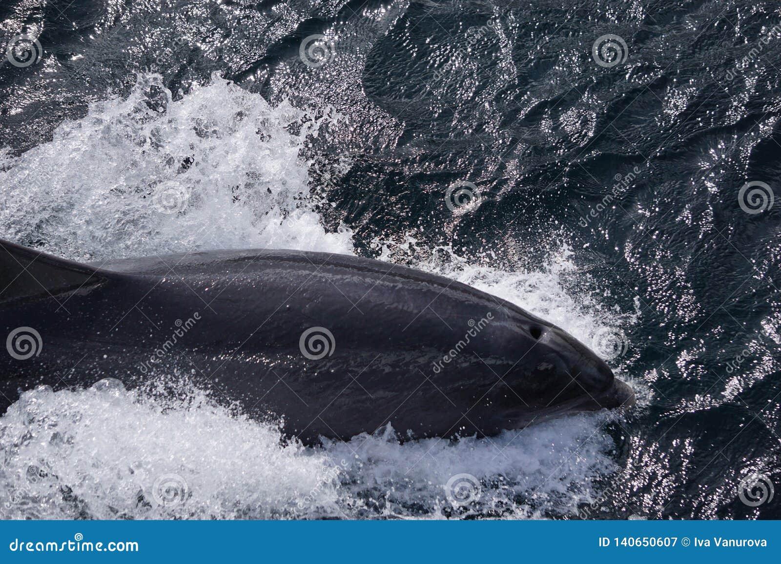 Delfín de salto en el océano