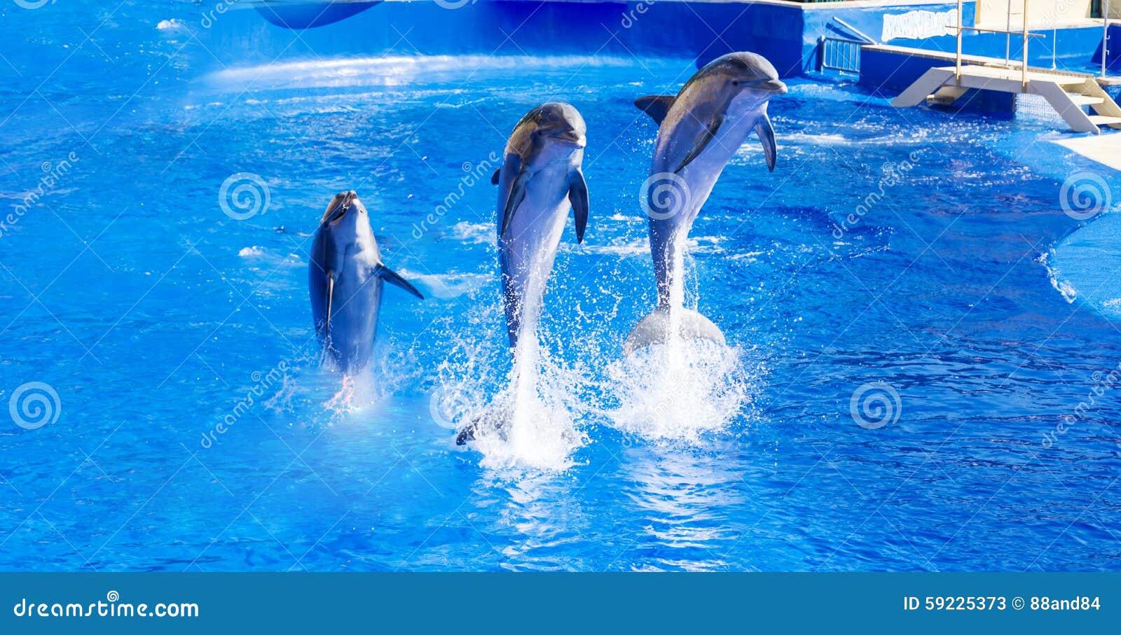 Download Delfínes Entrenados Que Saltan Adentro Imagen de archivo - Imagen de azul, criaturas: 59225373