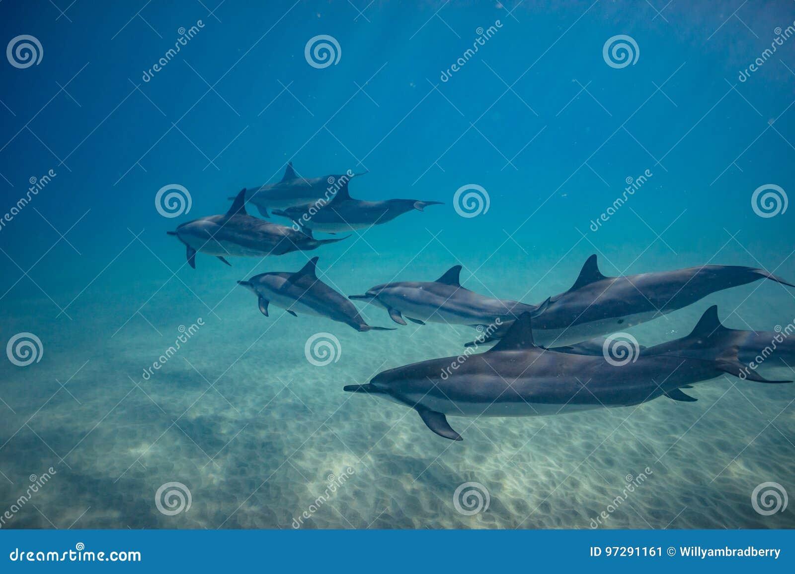 Delfínes juguetones salvajes subacuáticos en el océano azul profundo