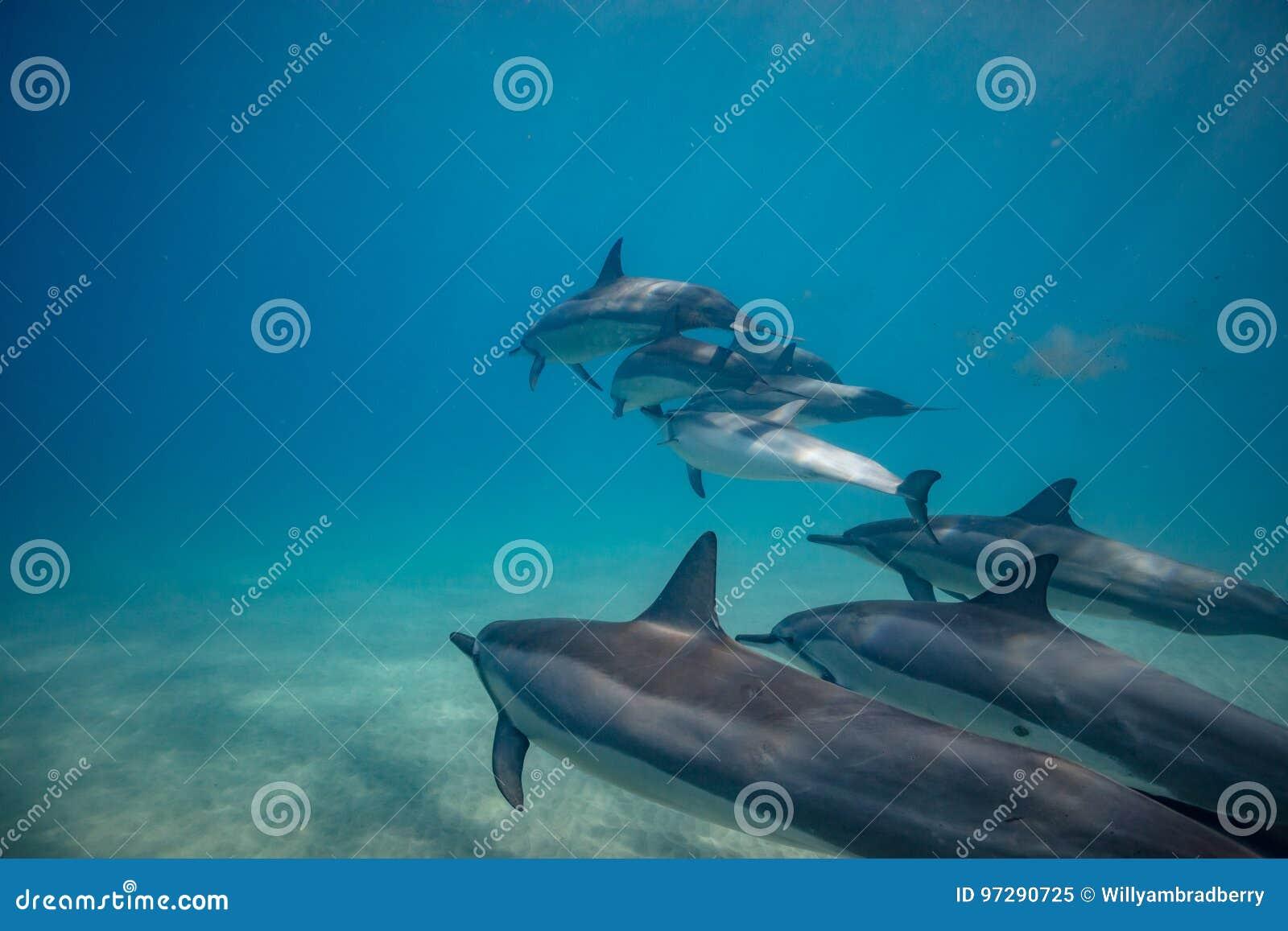 Delfínes salvajes subacuáticos en el océano azul profundo