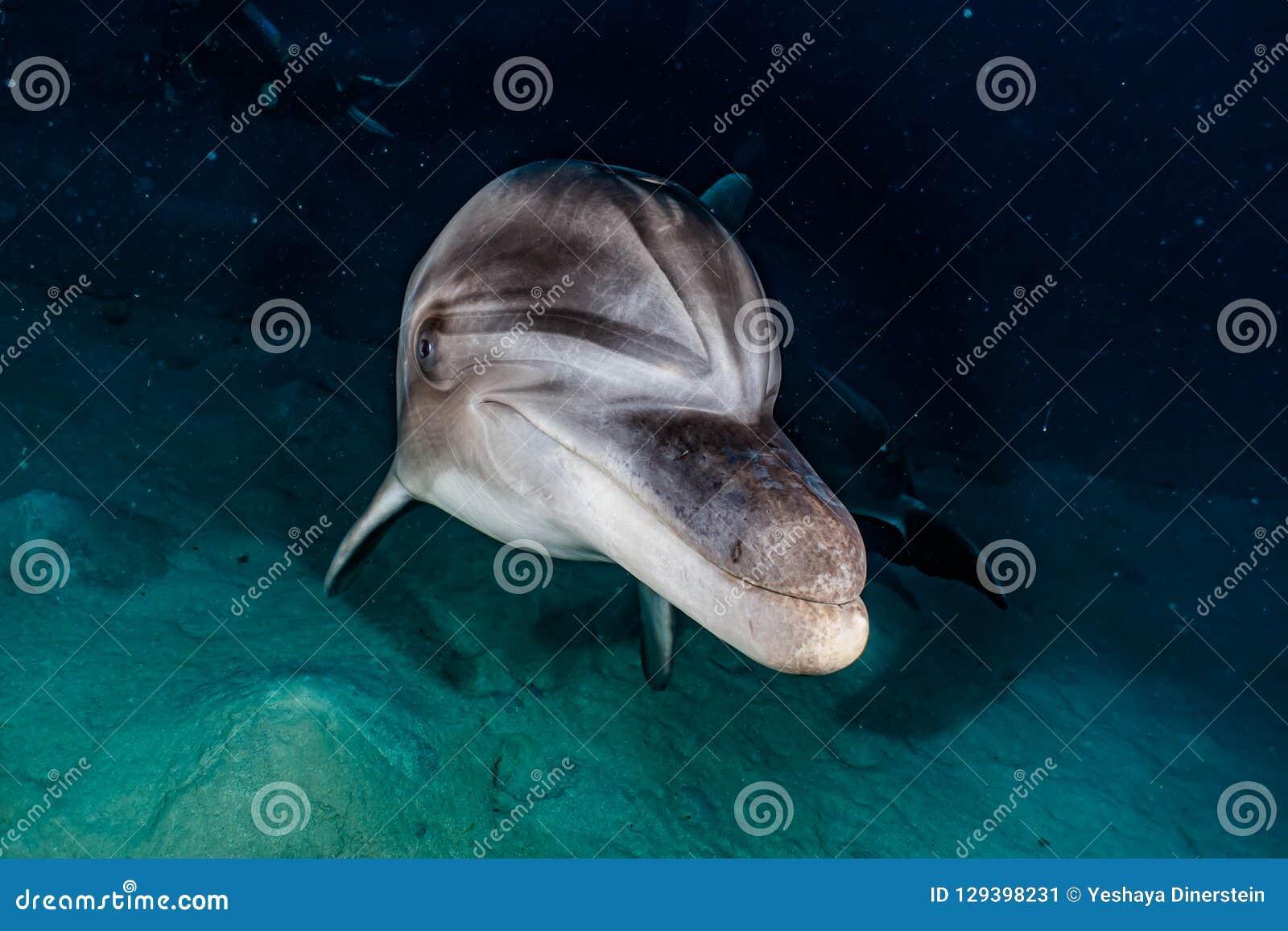 Delfinu dopłynięcie w Czerwonym morzu