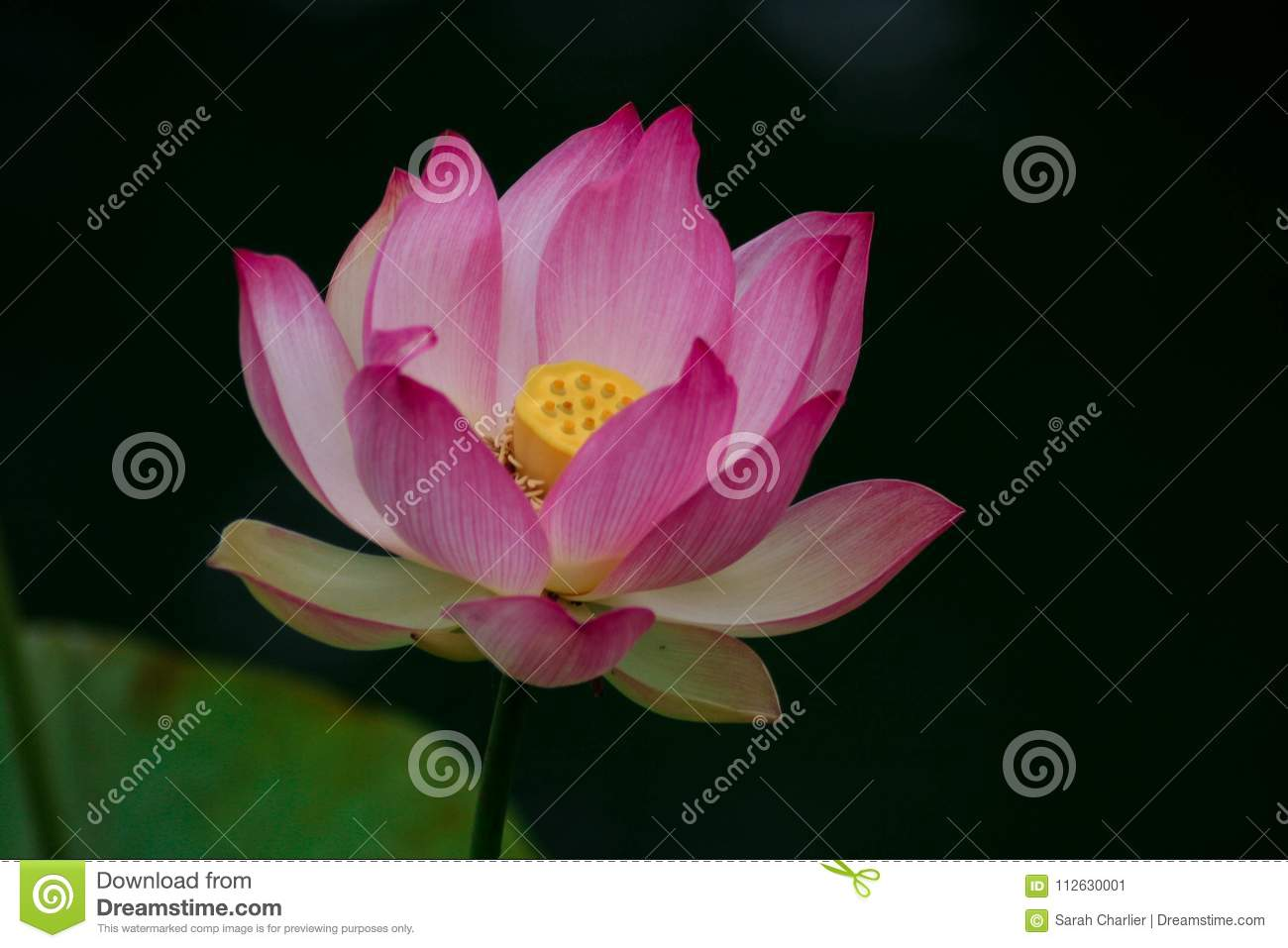 Lotus Flowers Symbolizing Growth And New Beginnings Stock Image