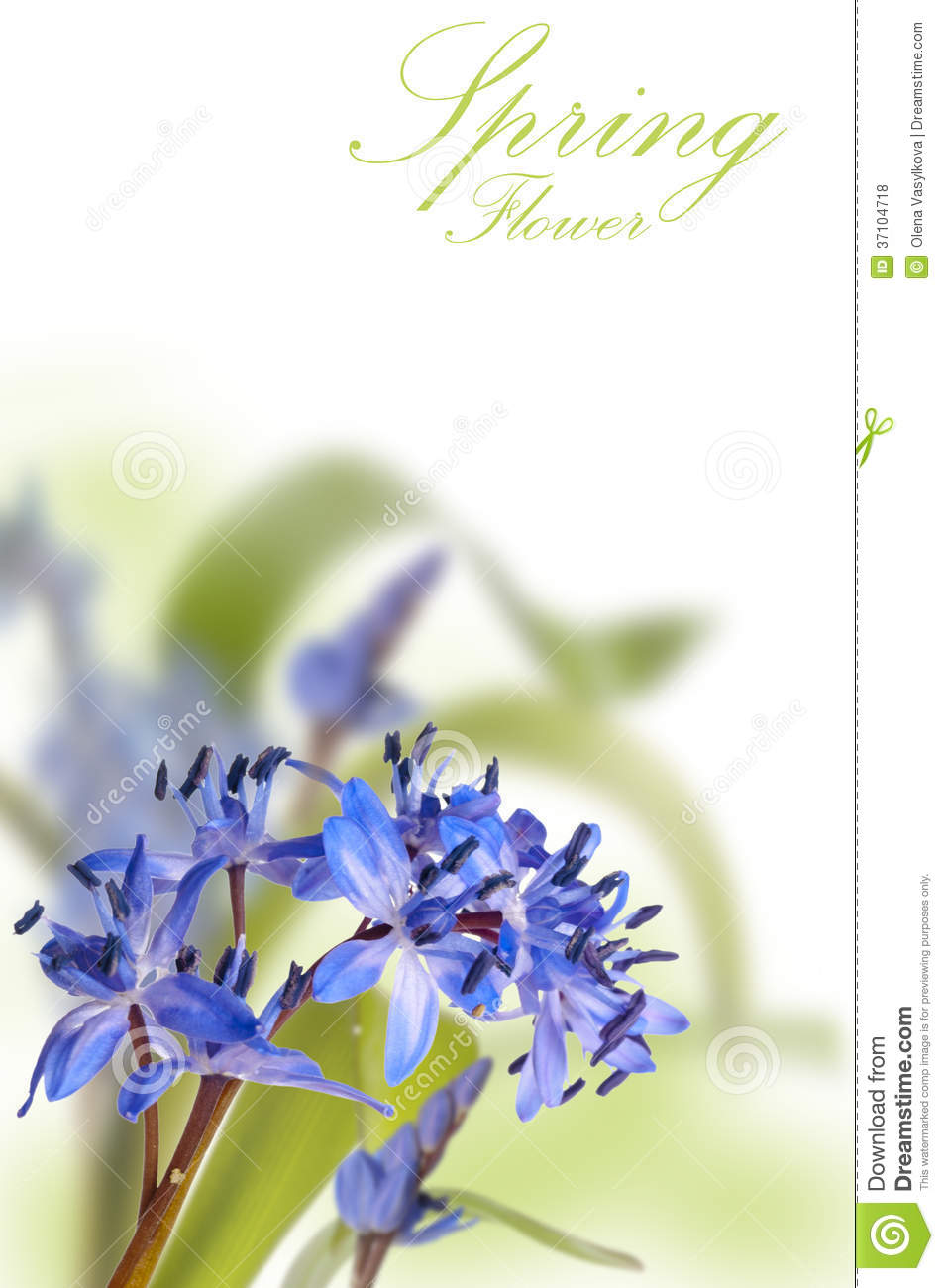 Delicate blue first spring flower ower white