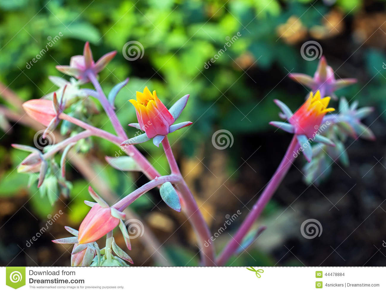 Delicate Colorful Echeveria Flowers In Pink And Yellow Stock Photo