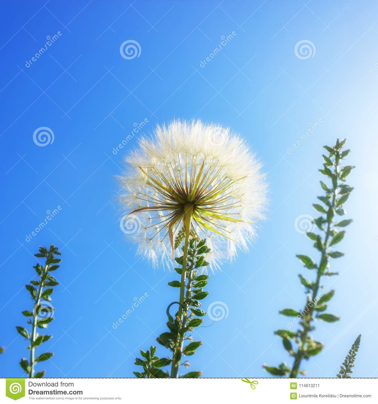 Delicate Dandelion With Seeds On Background Of Bright Blue