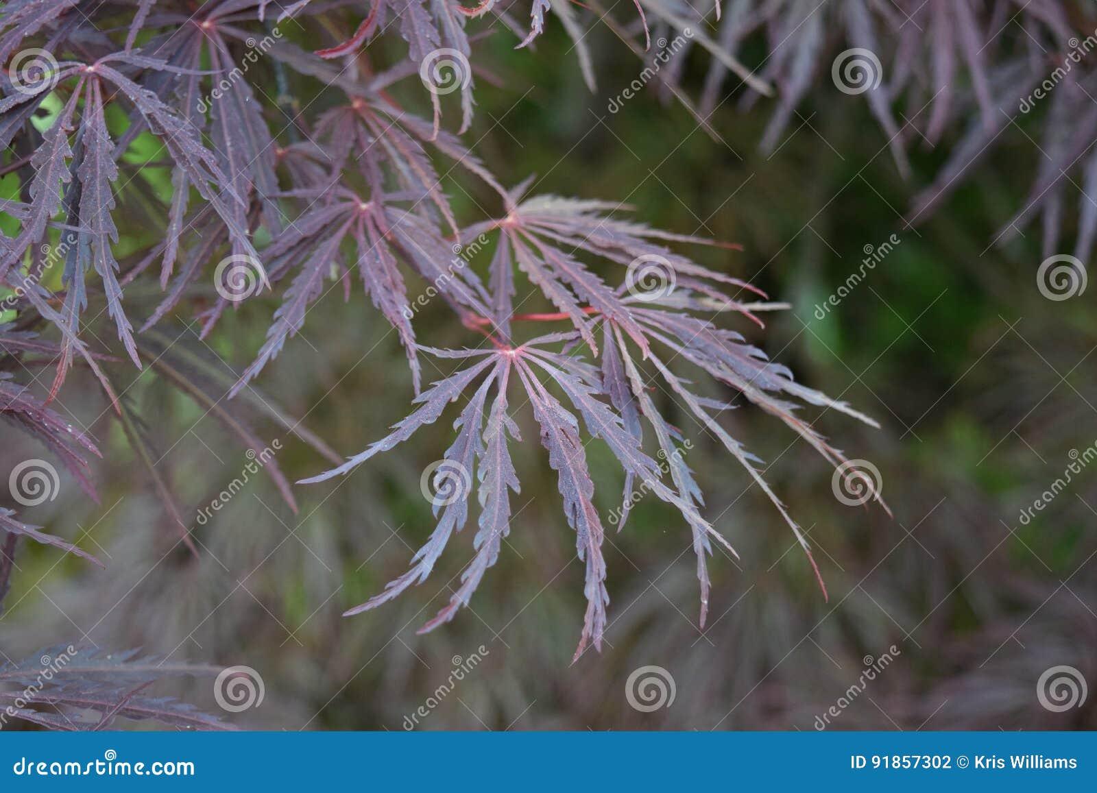 Delicate fern-like purple maple leaves