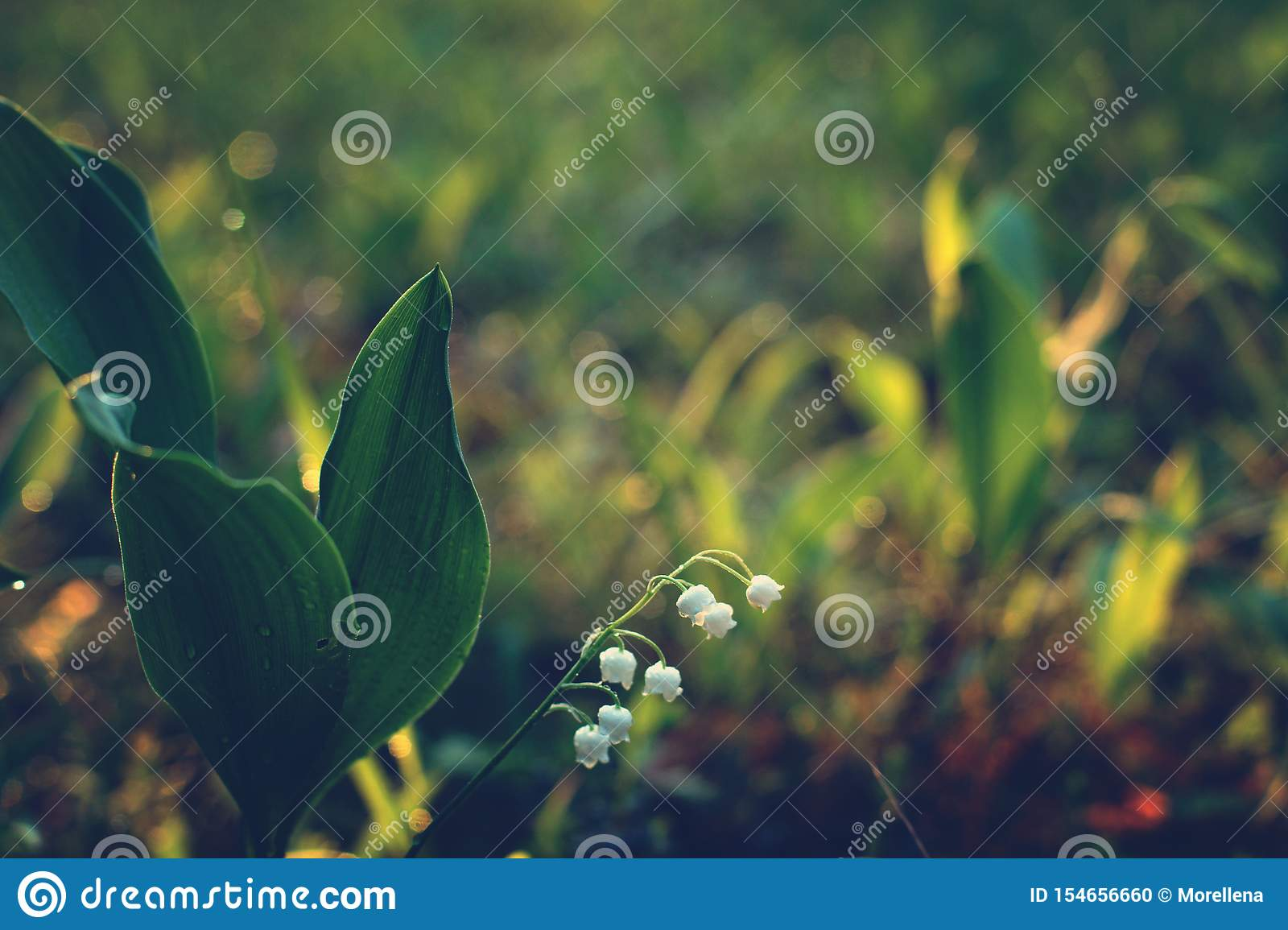 The delicate flower of lily of the valley bowed to the ground at dawn