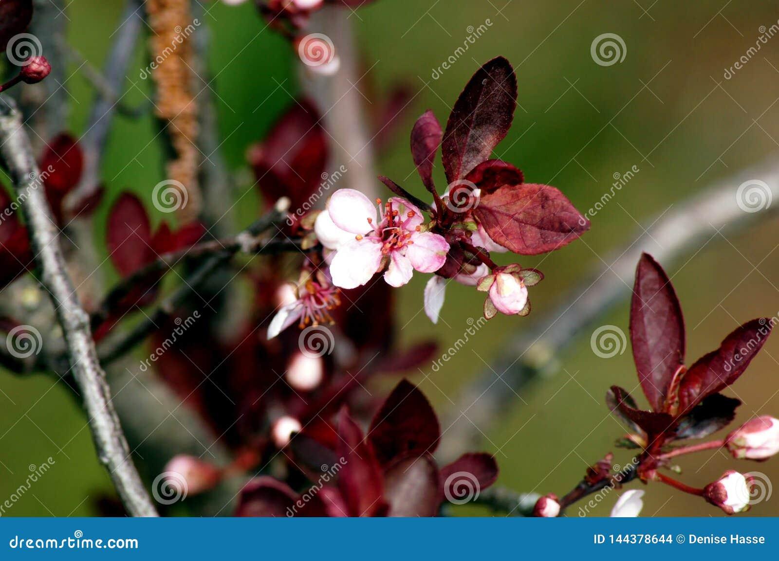 Delicate flowering Of the Blood Plum Prunus cerasifera