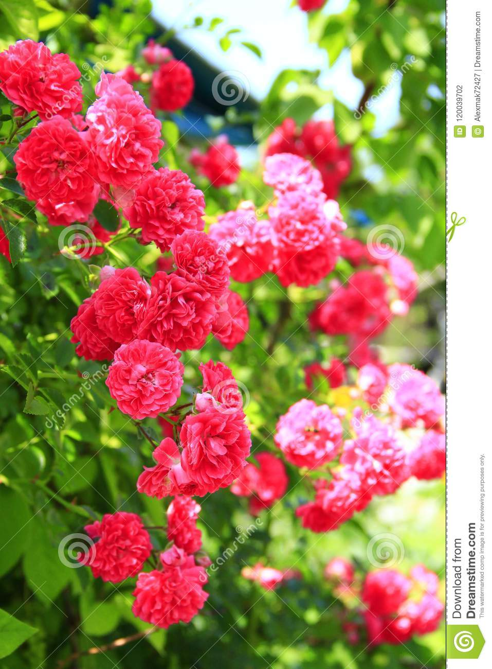 Delicate Flowers Of Climbing Red Rose Bloom In Garden Near House