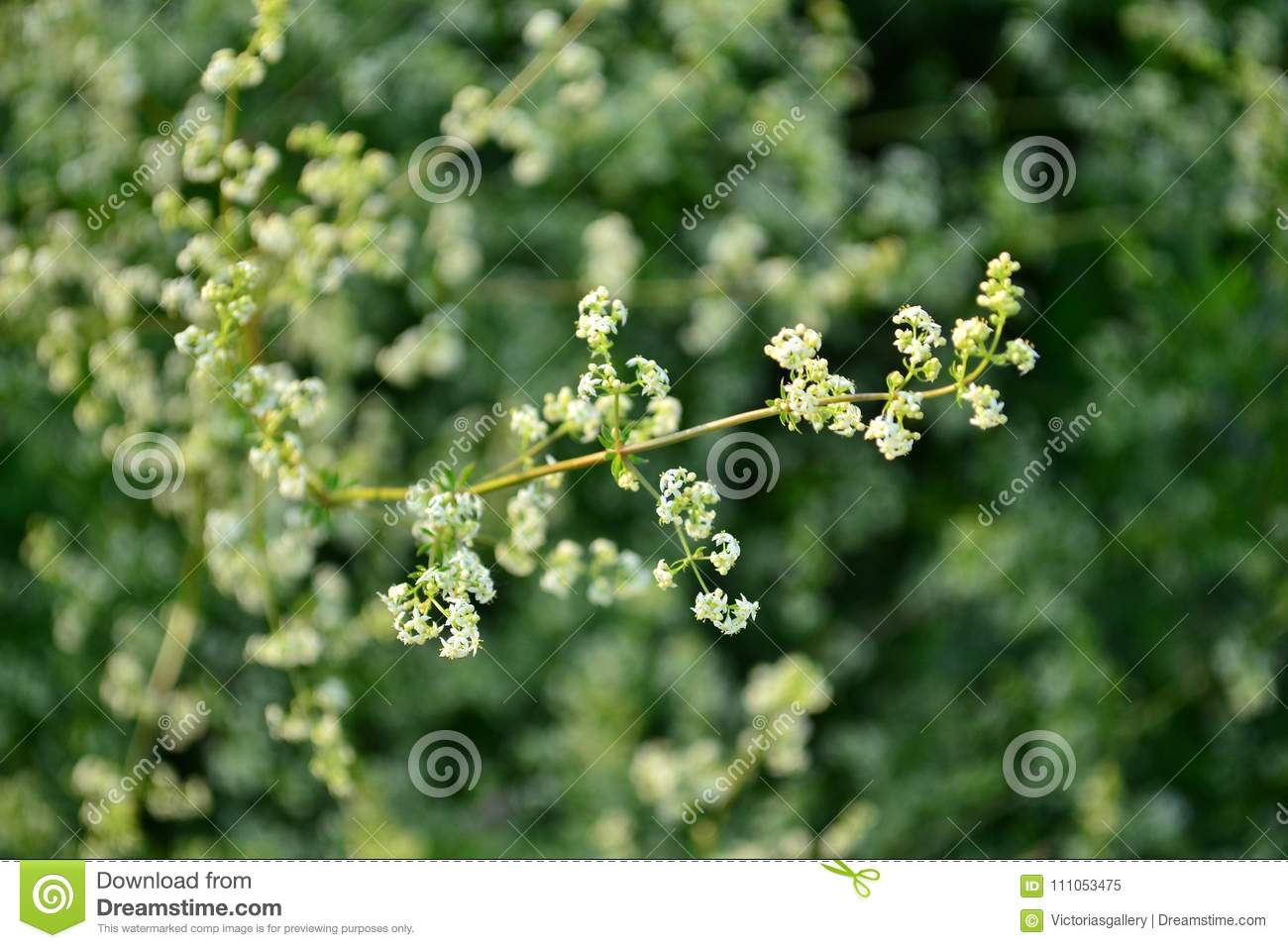 Delicate Green Plant With White Flowers Stock Image Image Of Right