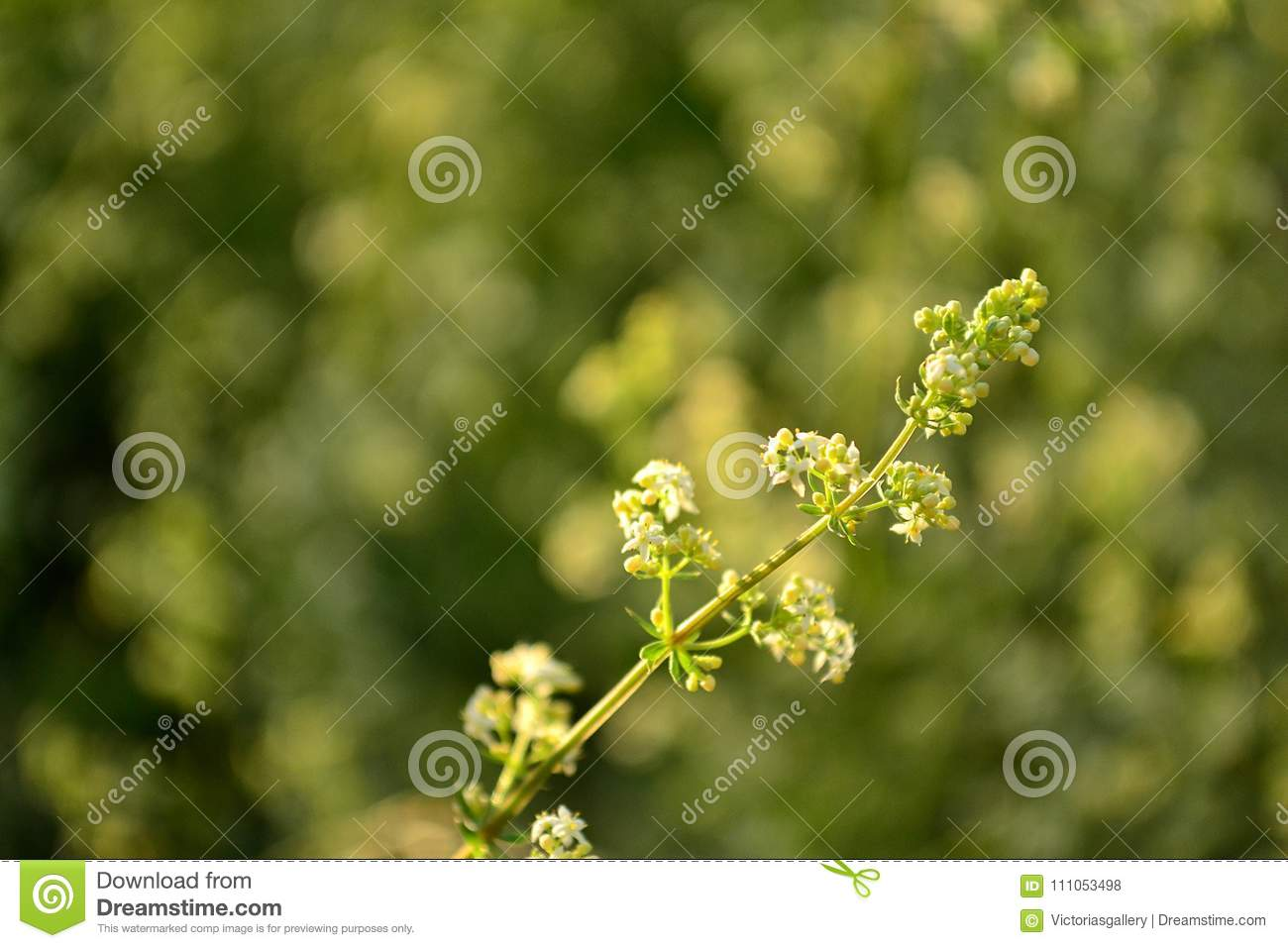 Delicate green white flowered plant stock photo image of green download comp mightylinksfo