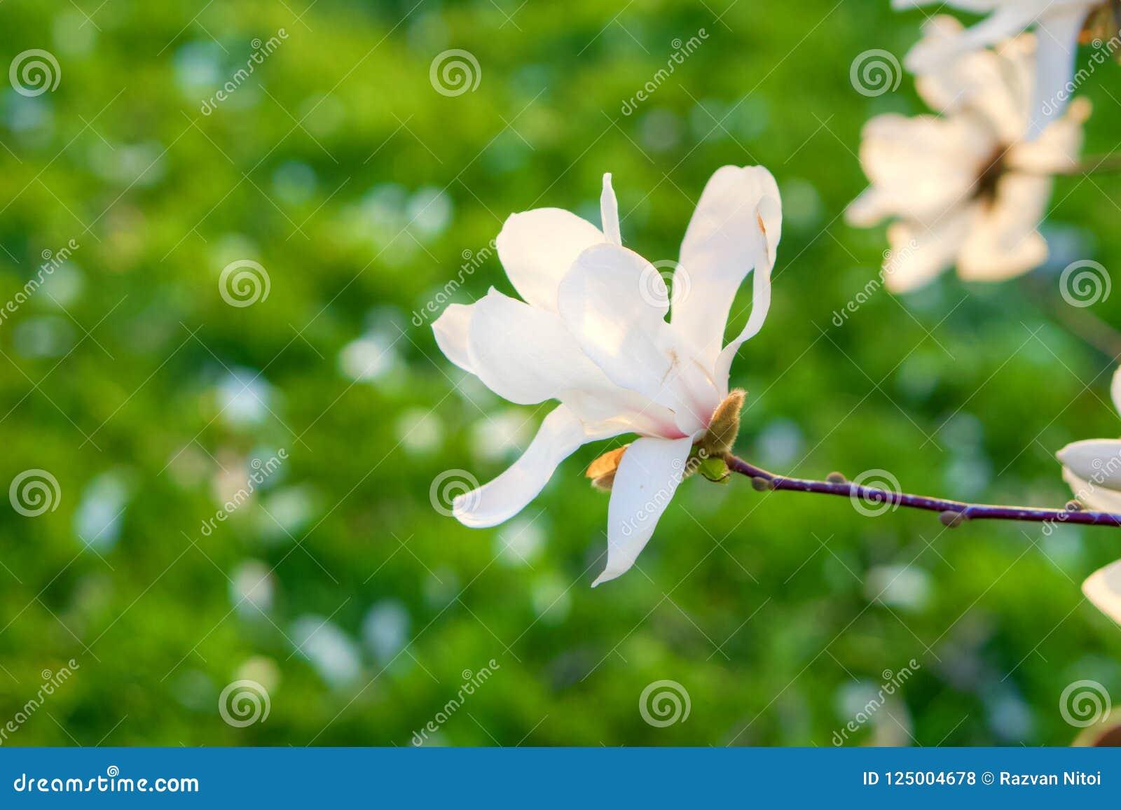 Delicate Magnolia Tree White Flowers In Springtime Stock Photo