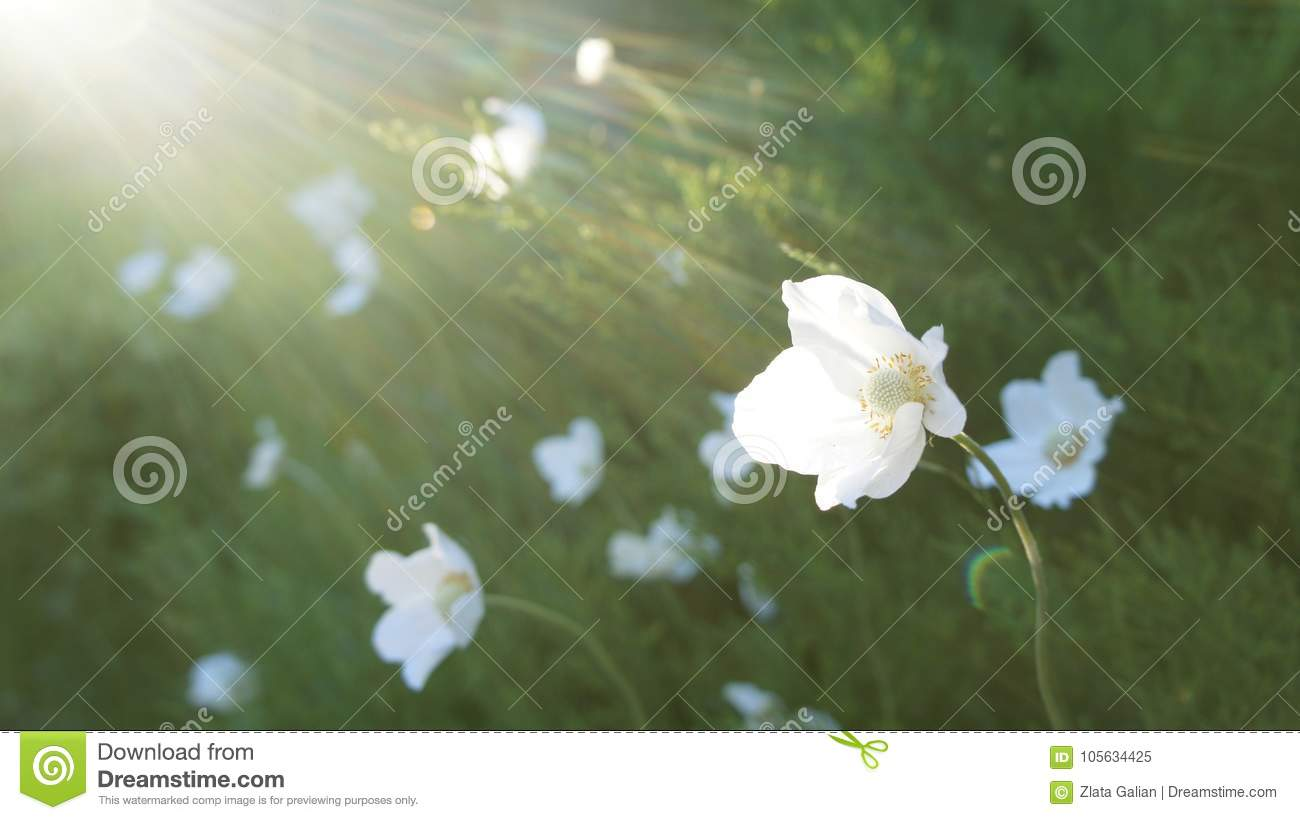 White Flowers In The Sun On A Green Glade Stock Image Image Of