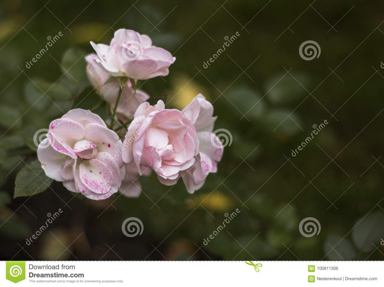 Delicate Pink Flowers On Green Background Editorial Photo Image Of