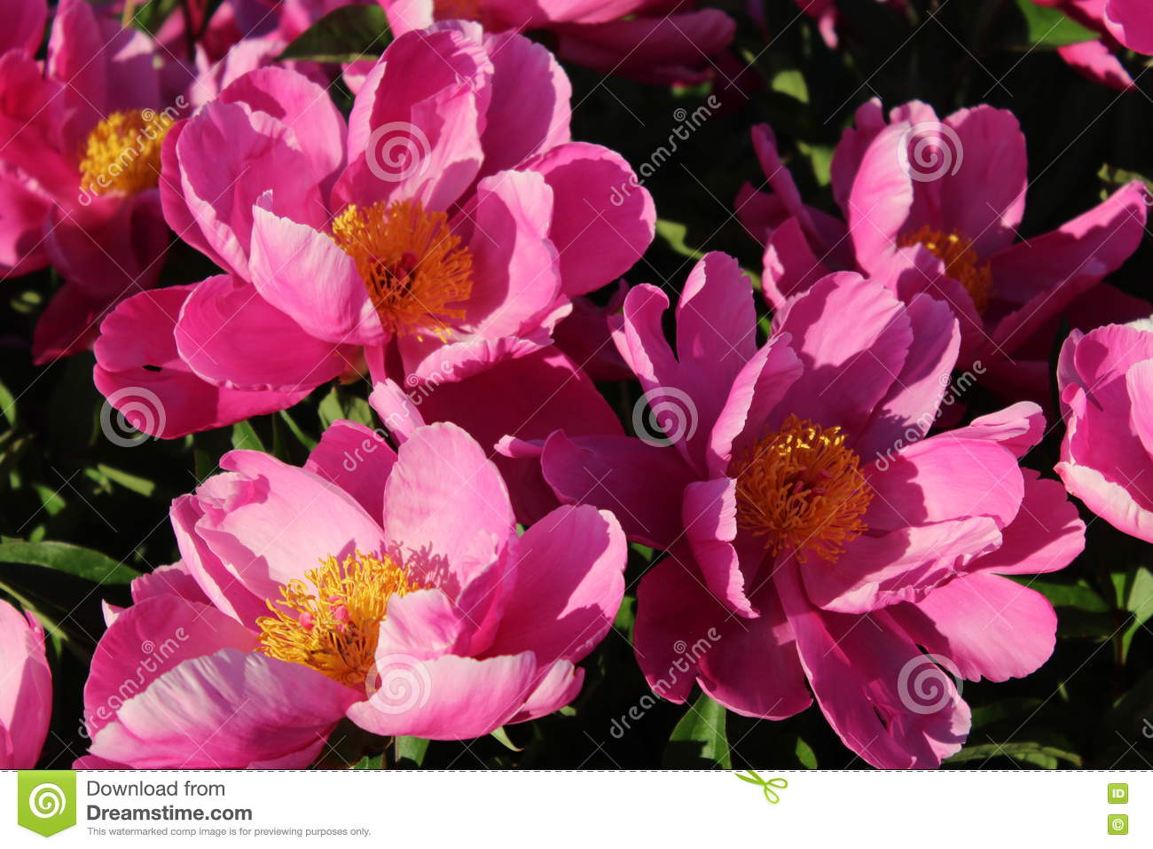 Delicate Pink Flowers With Yellow Centers Stock Image Image Of