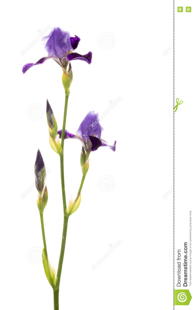 Delicate purple irises stock photo image of large rare 79173962 fragile delicate purple iris flowers on long thin green stalk bent on a white background isolated vertical izmirmasajfo