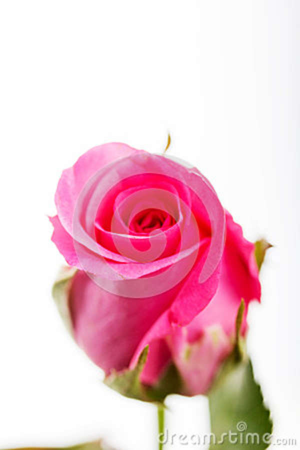 Delicate Rose On A Plain White Background Stock Photo